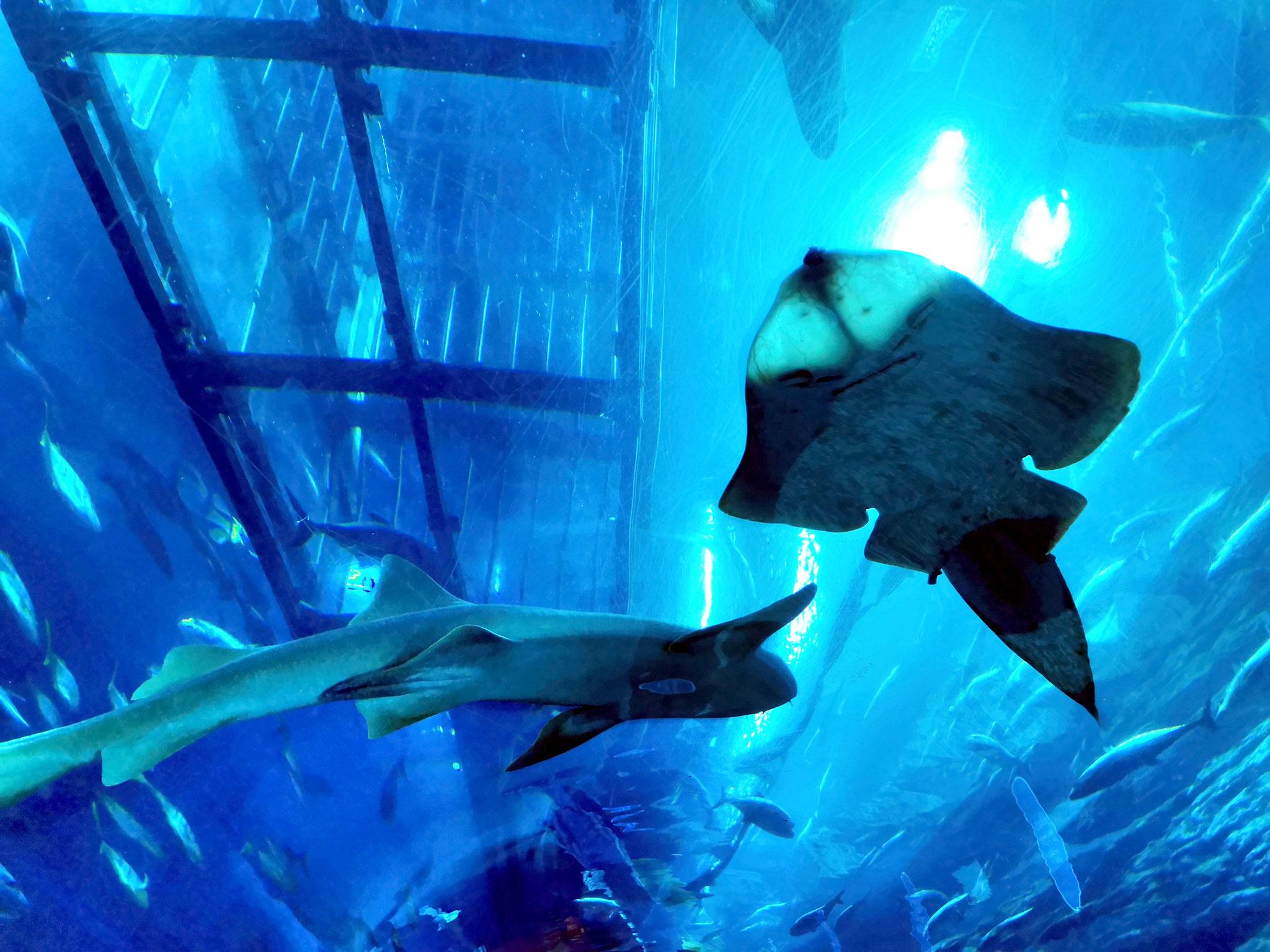 Erlebe Haie und Rochen hautnah