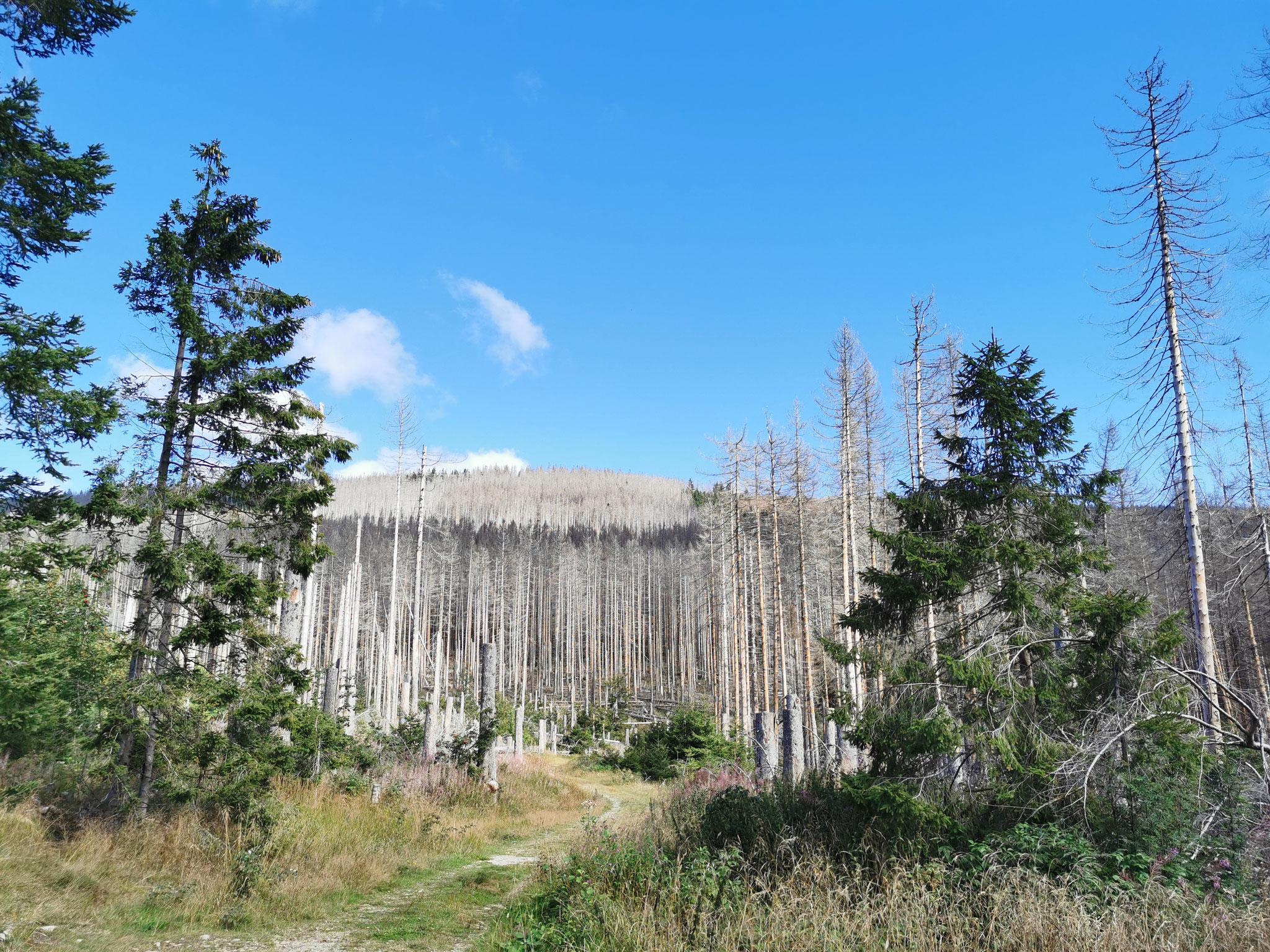 Die vom Borkenkäfer befallenen Wälder