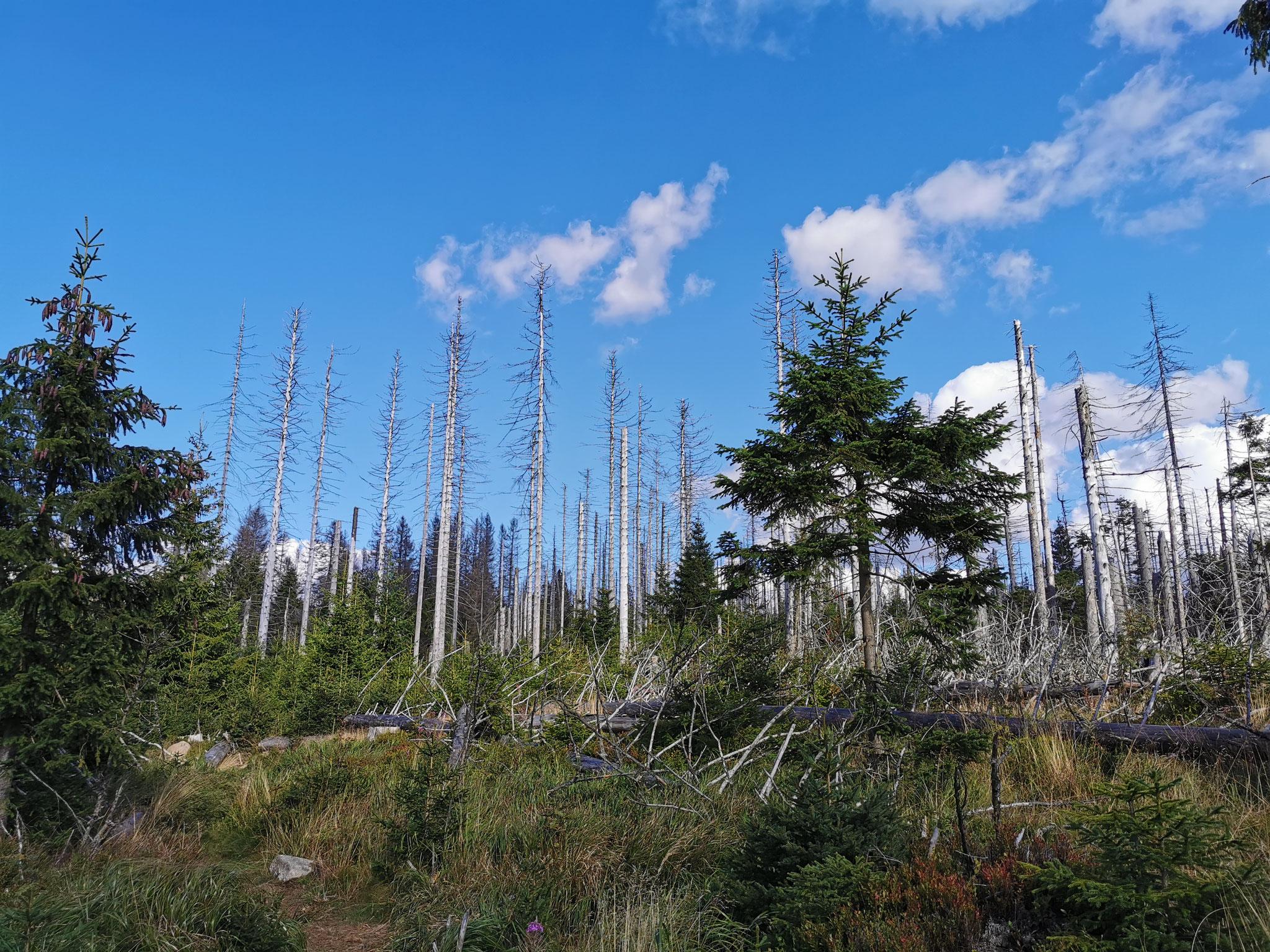 Abgestorbenen Bäume, aufgrund der Ausbreitung des Moores und der Borkenkäfer
