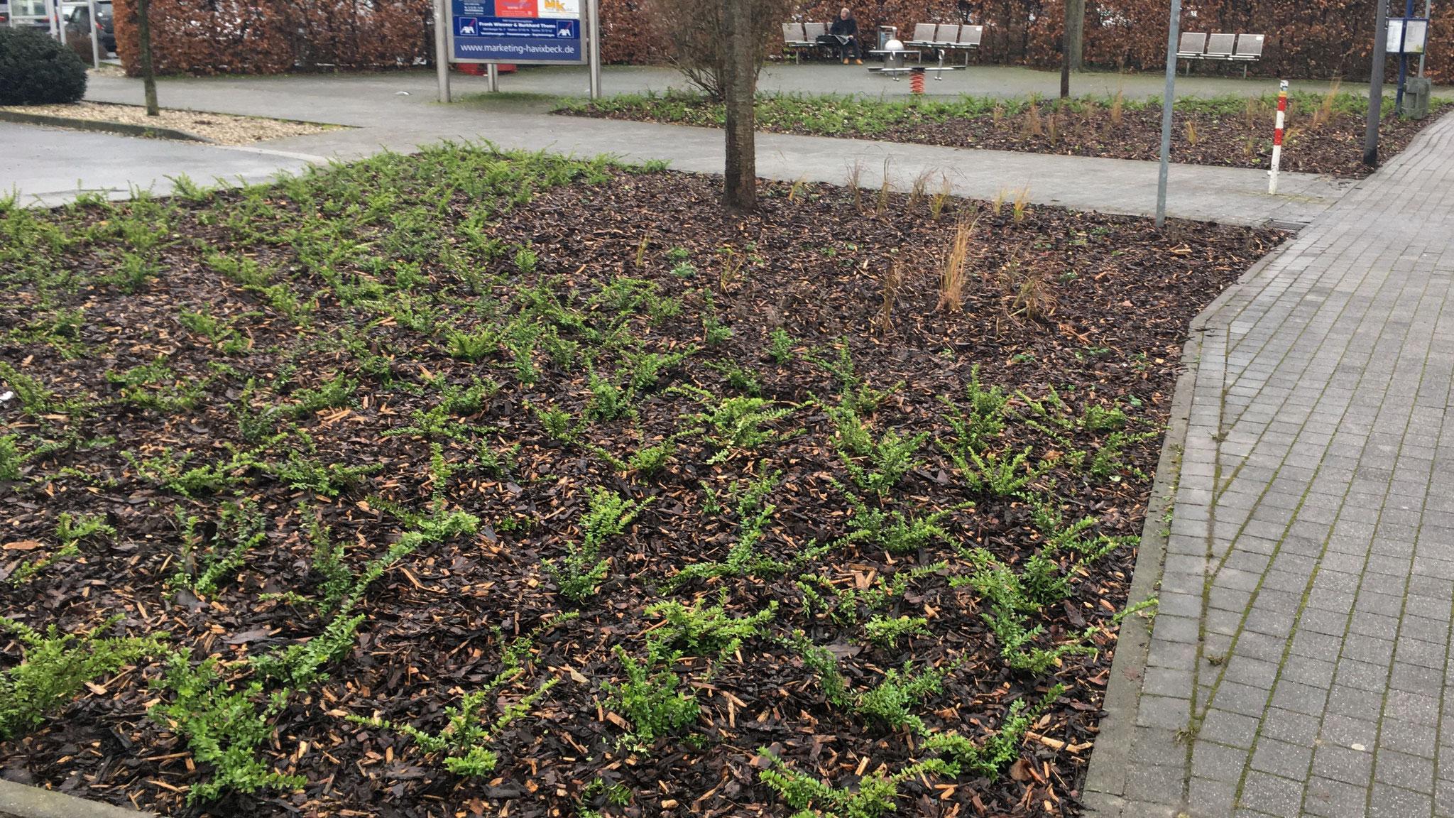 Gestaltung eines pflanzlichen Eintrittstors in Havixbeck | Foto Gemeinde Havixbeck