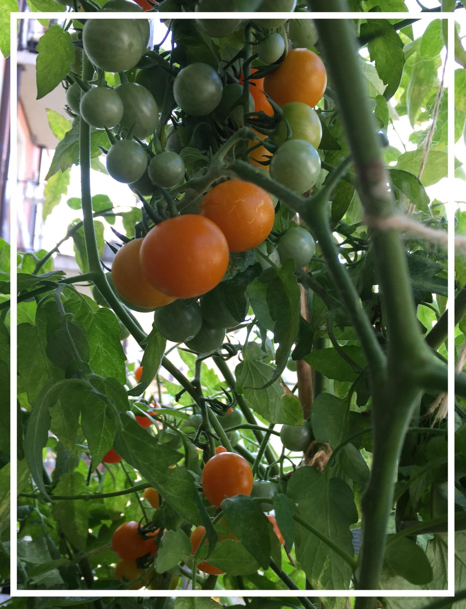 Bolivianische Obsttomate