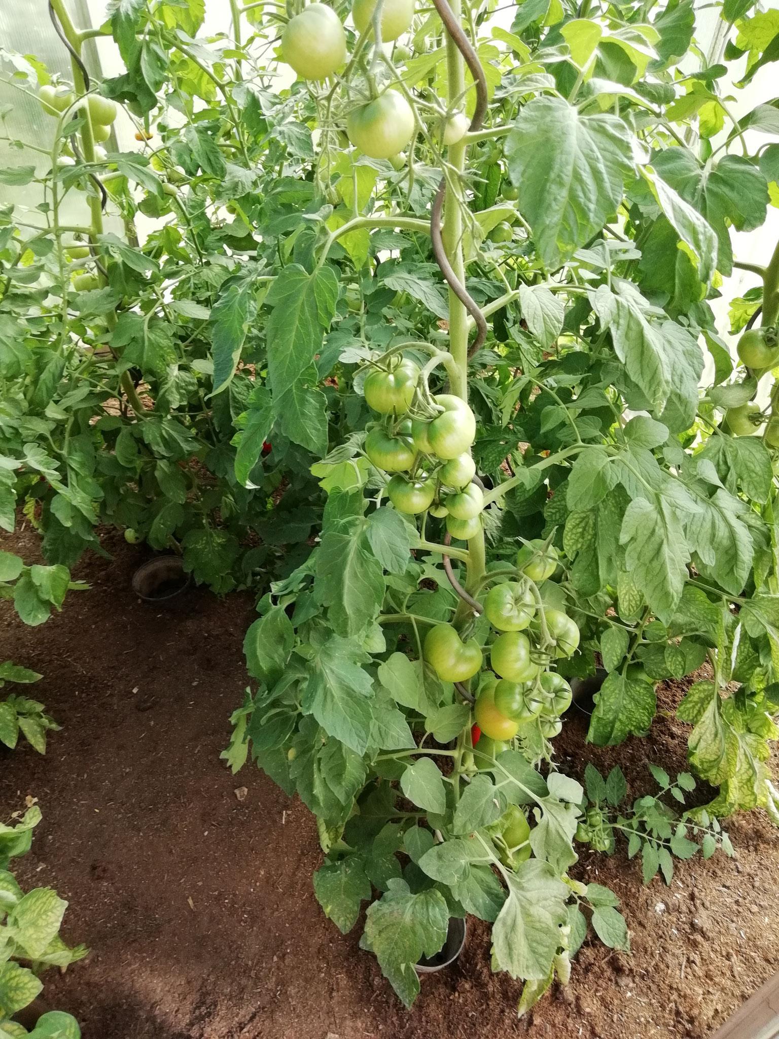 """Aus diesen Tomaten stellen wir unsere """"Tomatensoße fix und fertig"""" und """"Tomatensuppe mit Chilli"""" her"""