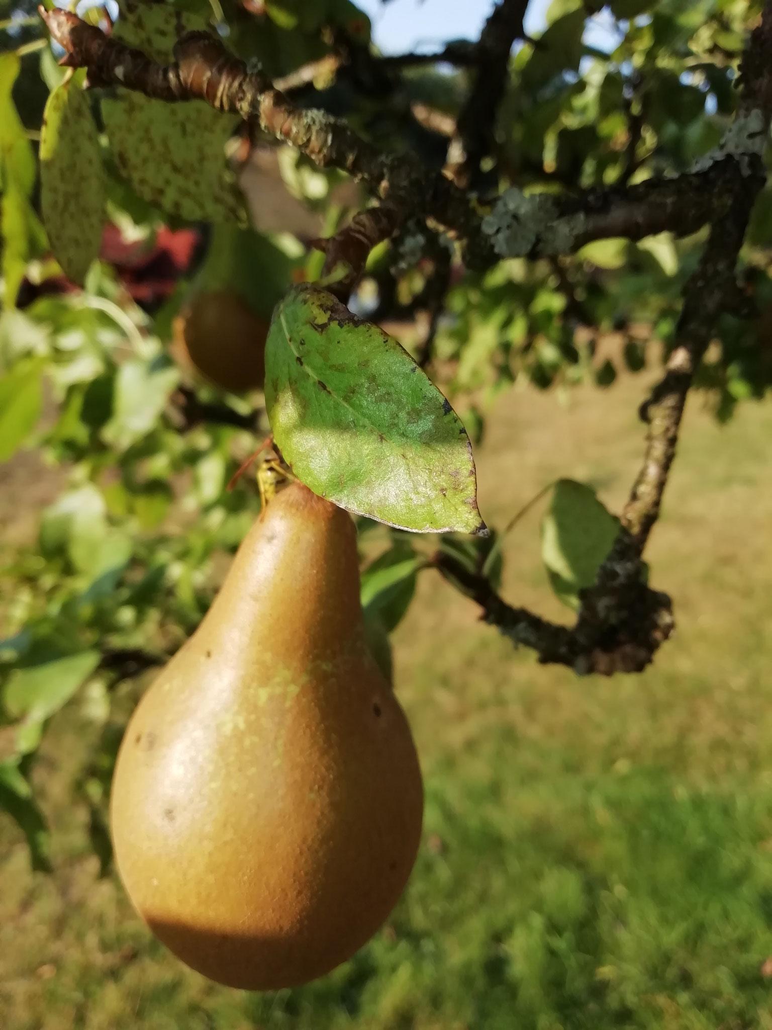 """Birnen für unseren """"Birne mit Zimtfruchtaufstrich"""",  für Birne mit Vanillefruchtaufstrich"""" sowie """"Quitte mit Birnefruchtaufstrich"""""""