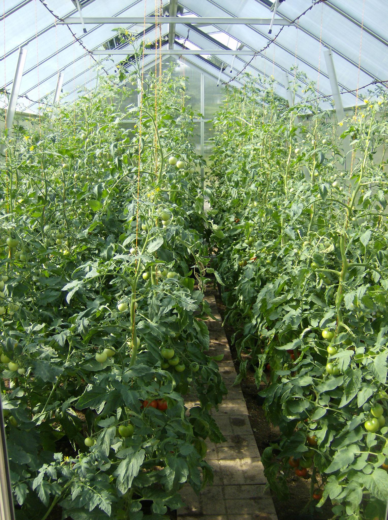 Tomaten wachsen bei uns besonders gut