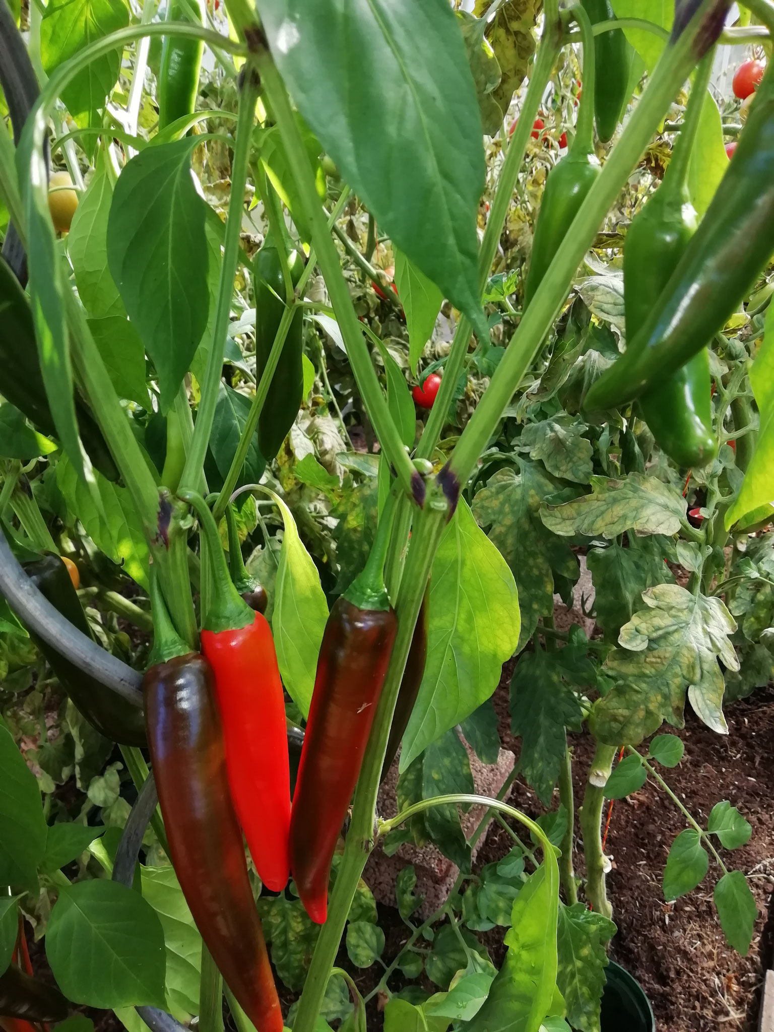 "Peperoni für unsere ""Tomatensuppe mit Chilli"""