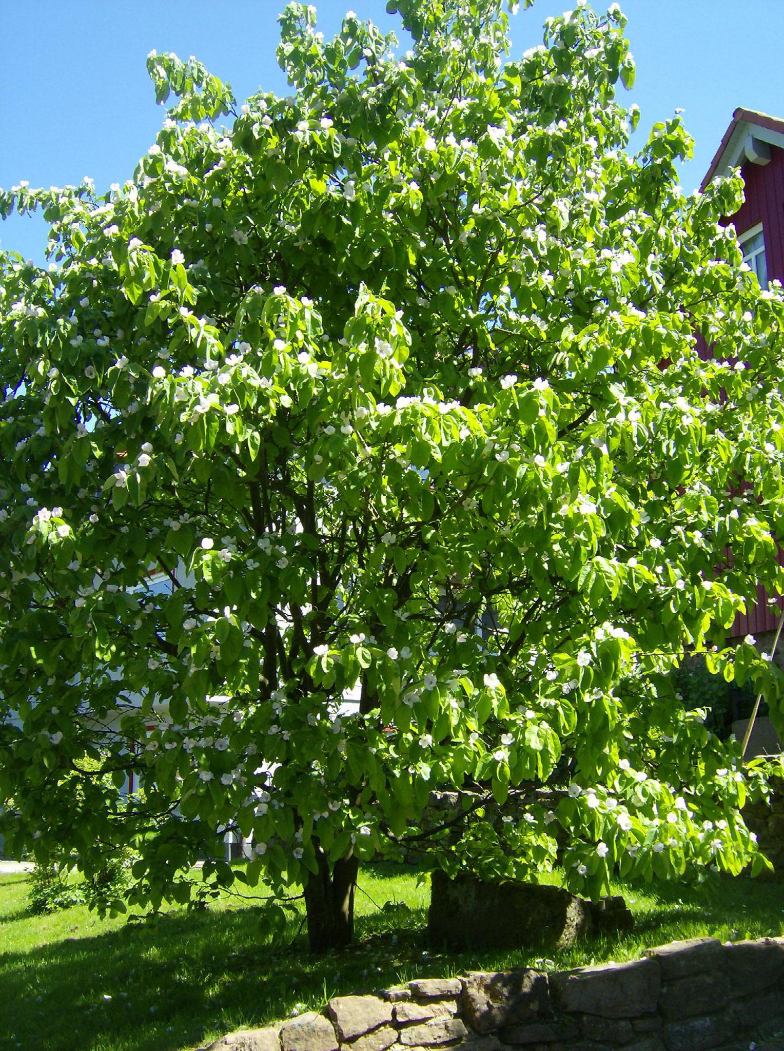 Quittenblüten für aromatische Quittenfrüchte