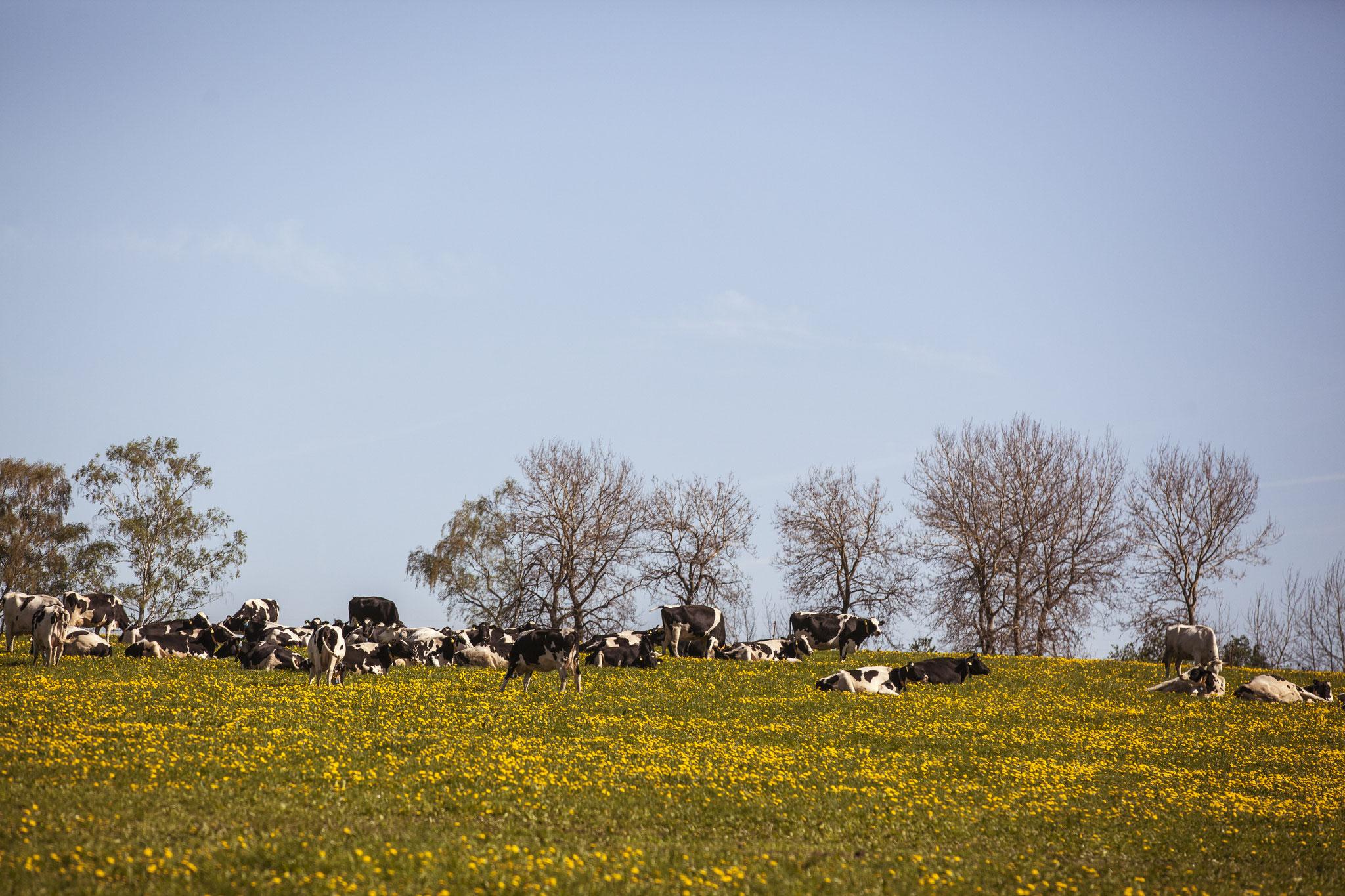 Zusätzlich können unsere Kühe während der Weidesaison auf einem Teil unserer Flächen grasen.