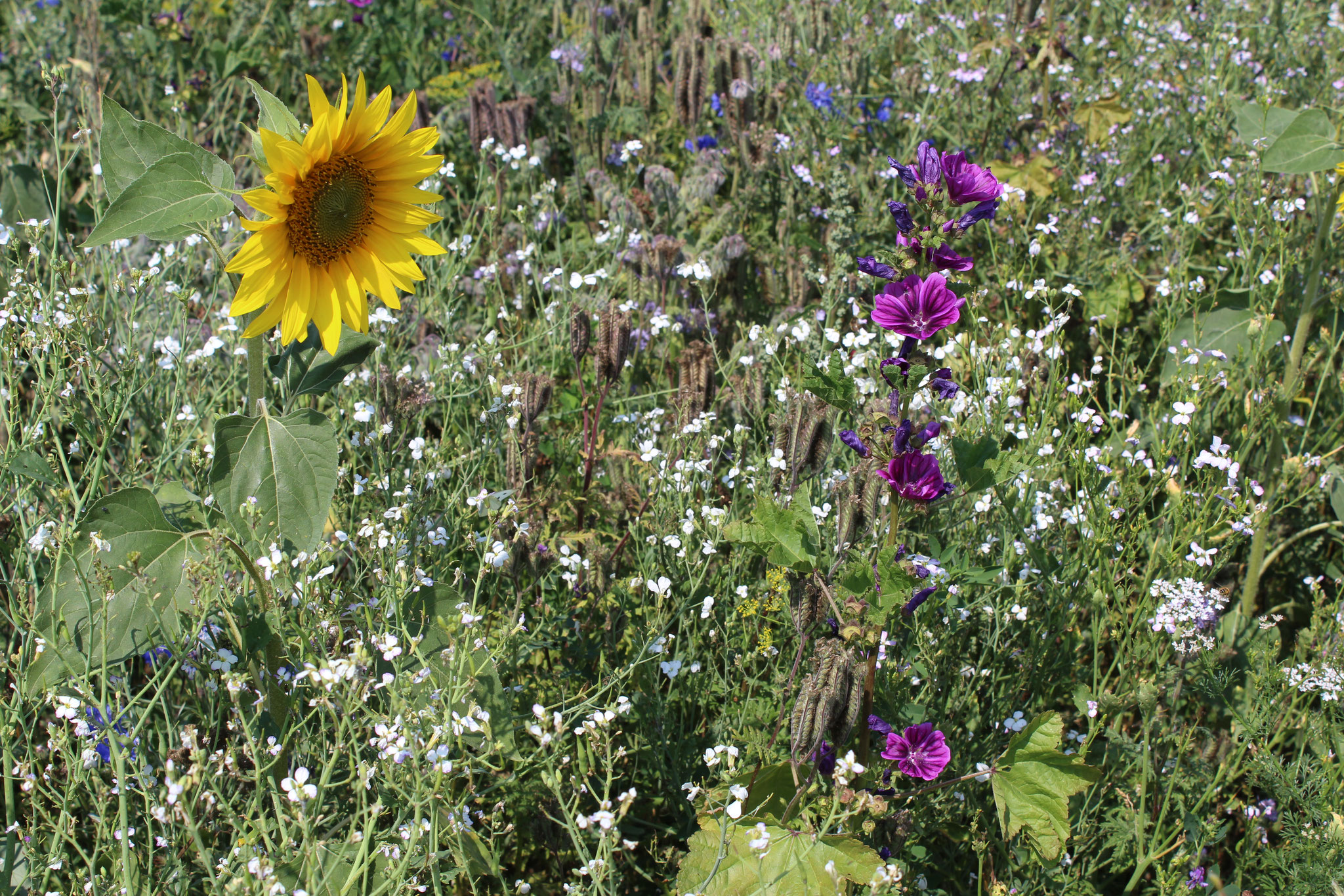 Blühmischungen fördern die Biodiversität.