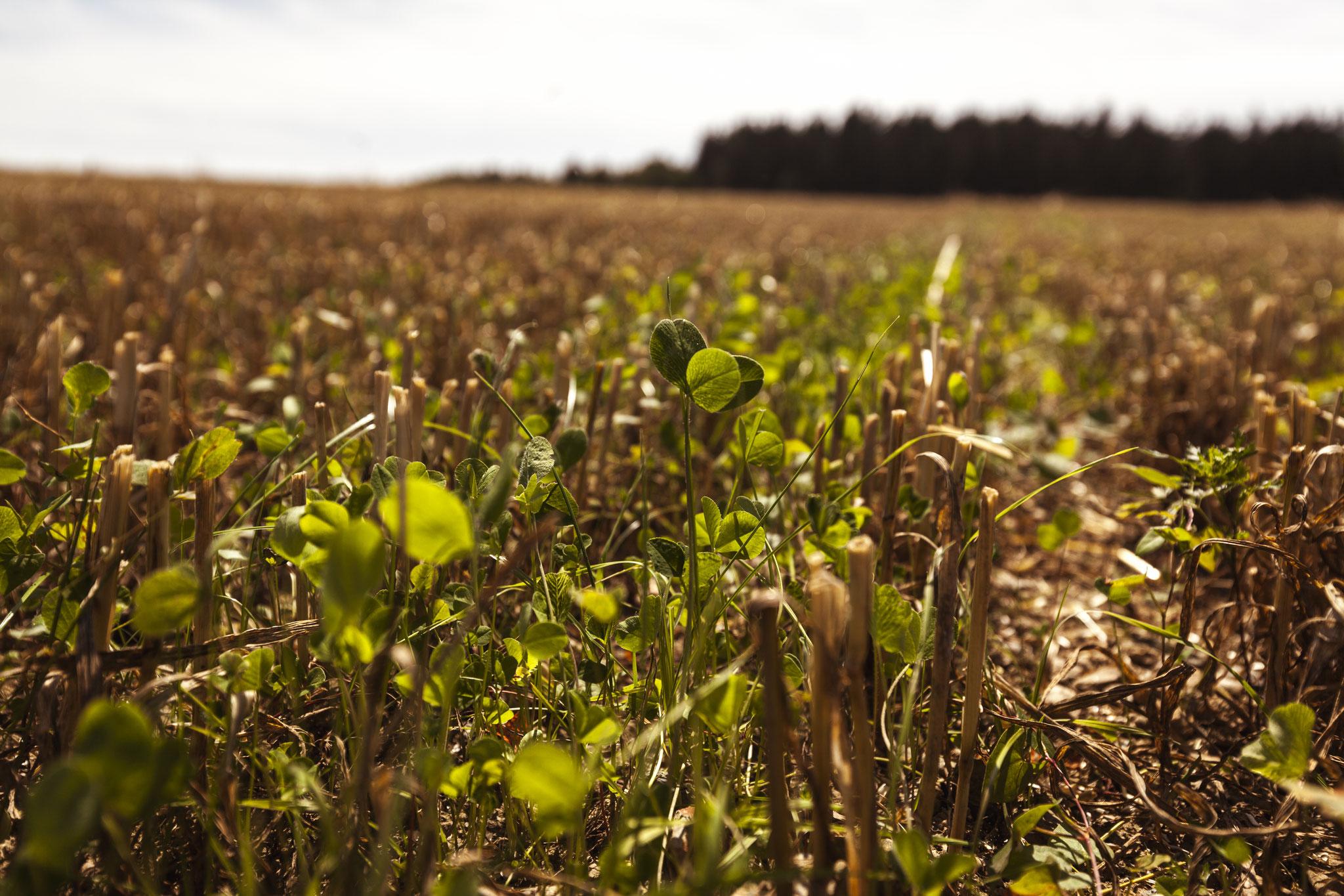 Auch Untersaaten tragen zur Bodenfruchtbarkeit bei.