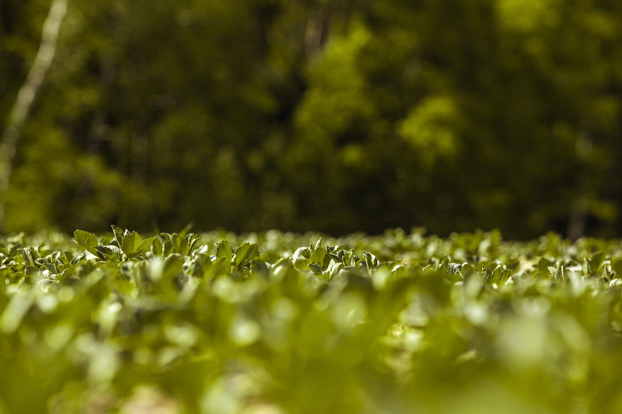 Auch Ackerbohnen binden als Leguminosen den Stickstoff aus der Luft.