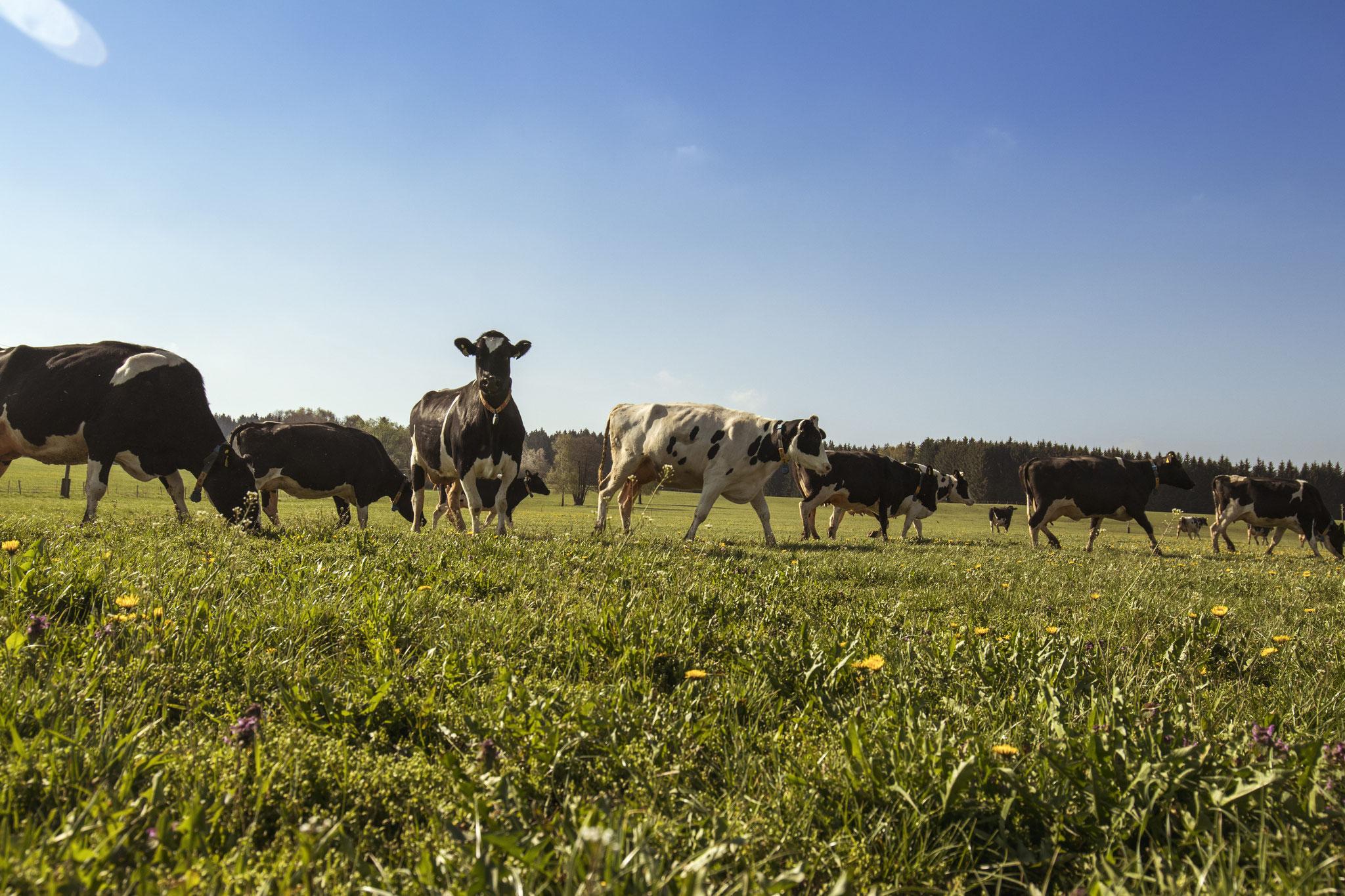 Unsere Weiden bieten genug Platz und Freiraum für unsere Kühe.