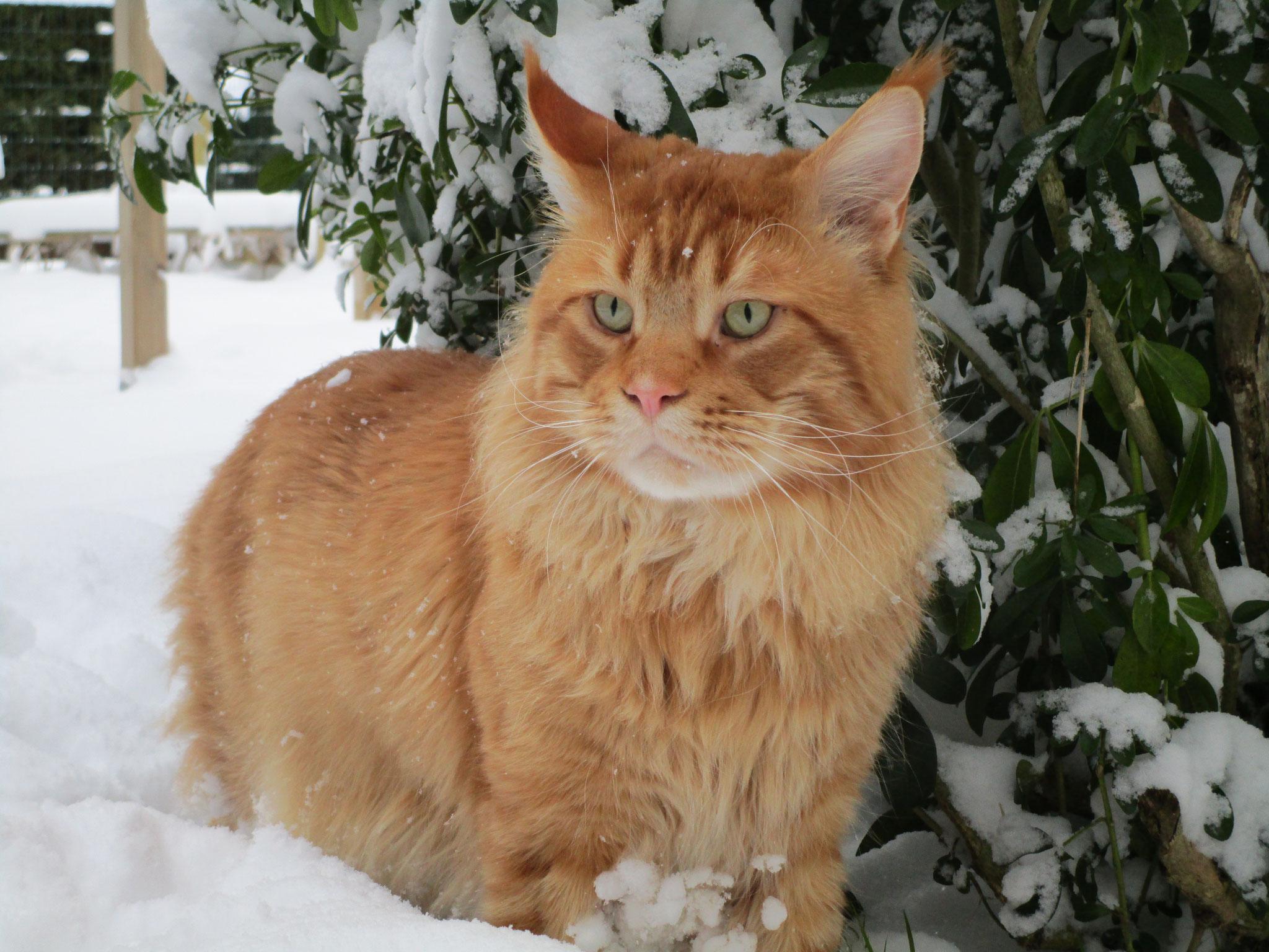 """Léon dans sa version """"Tigre de Sibérie"""""""