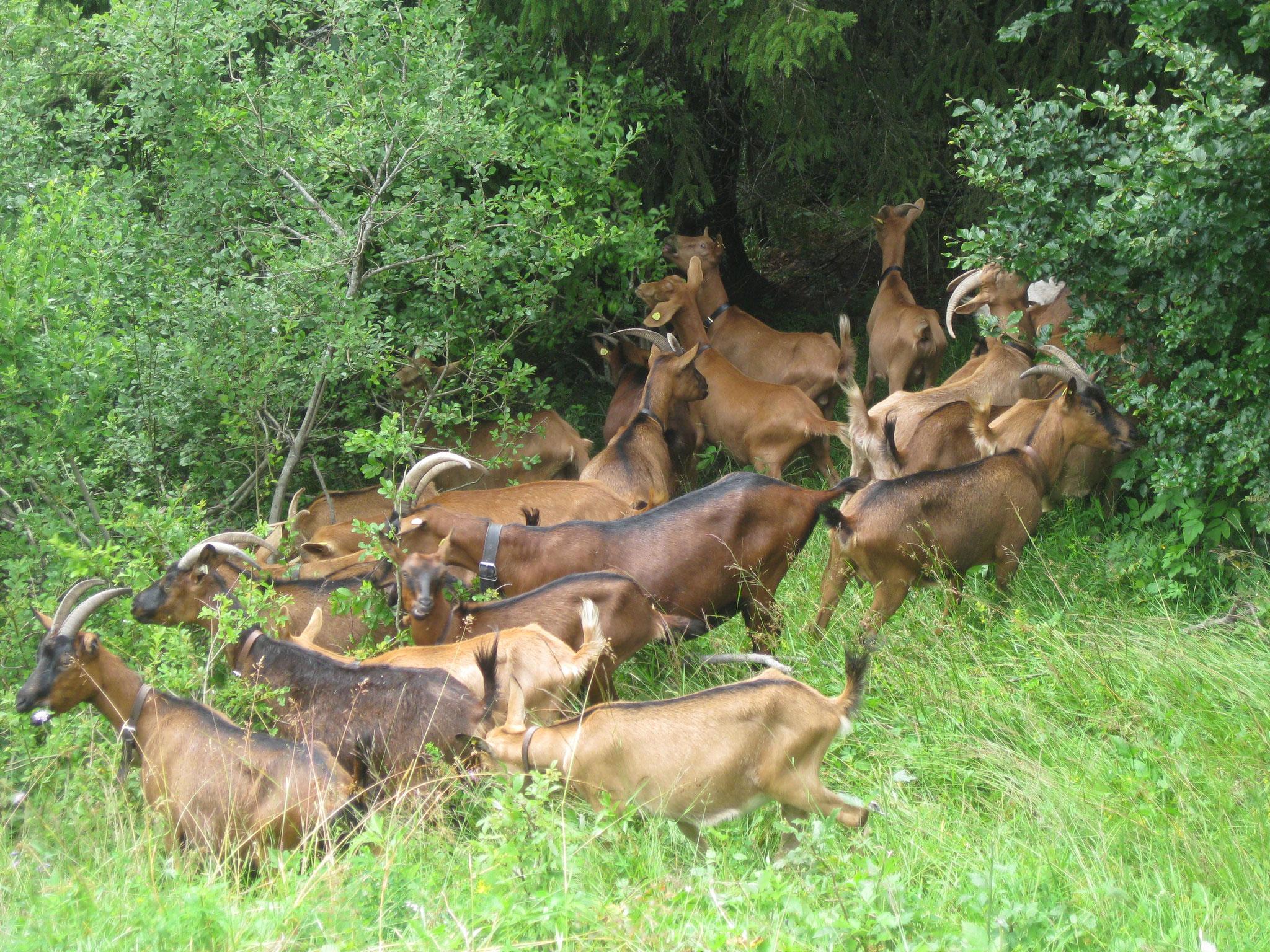 Rast für die Herde
