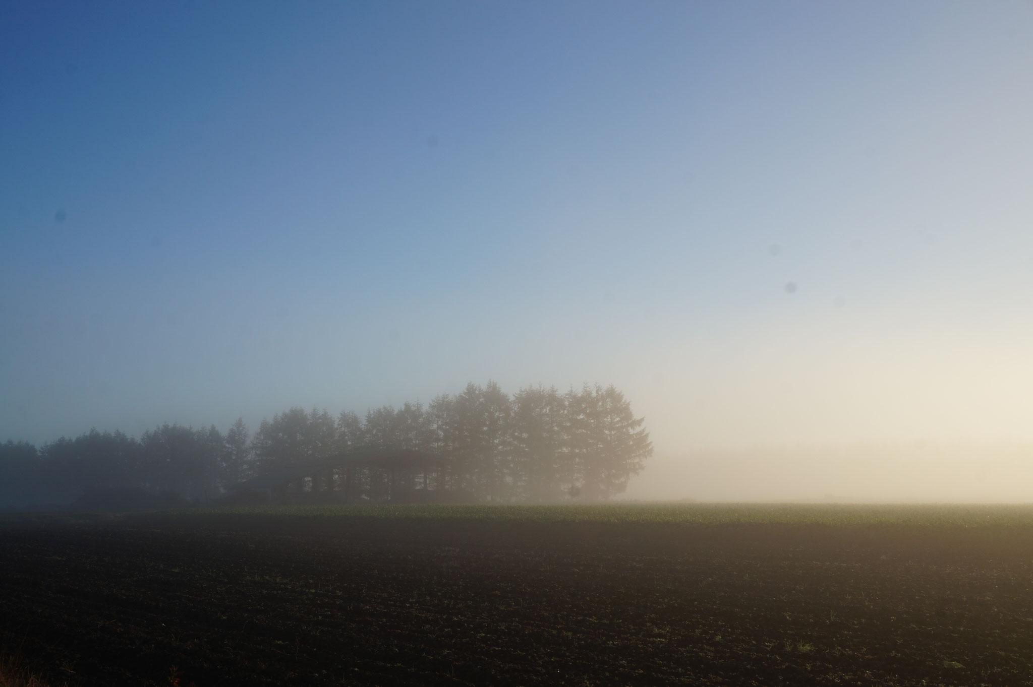 朝靄と防風林