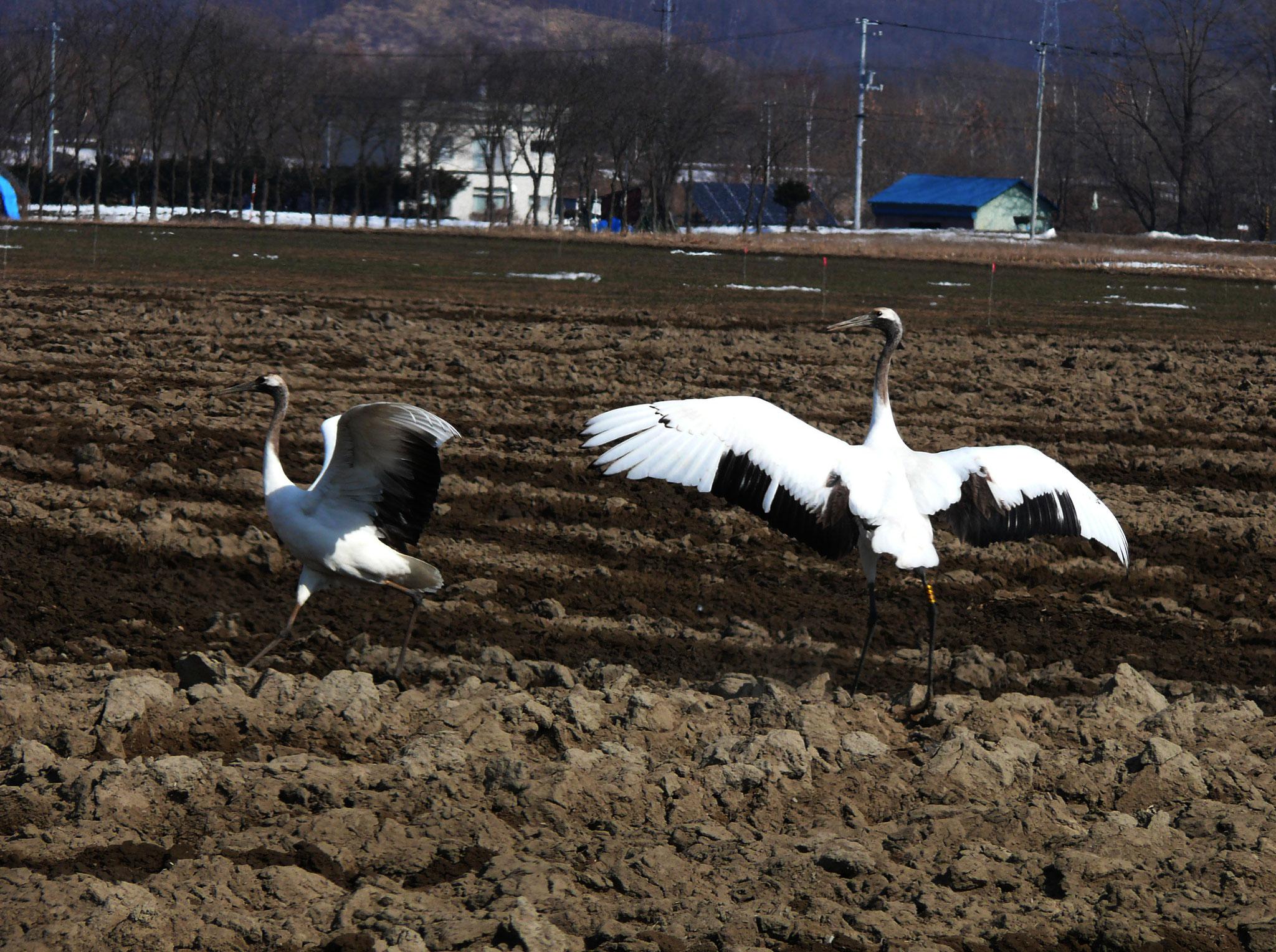 春の畑に降り立つ鶴