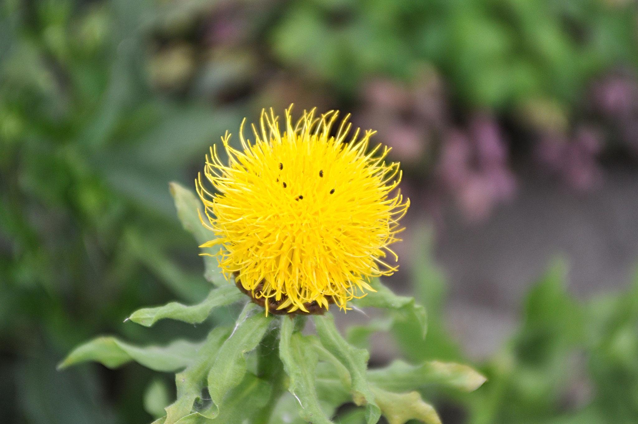 """Gelbe Flockenblume"""