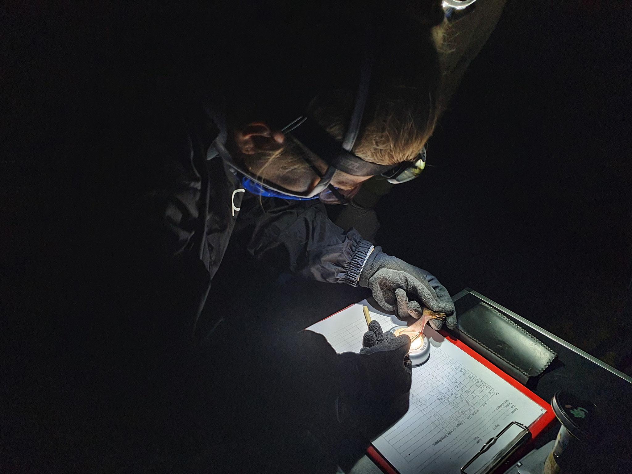 Alle Fledermäuse (hier eine Mückenfledermaus) werden gewogen & gemessen