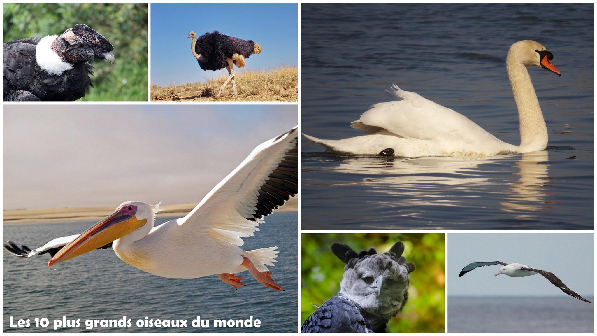 Les 10 plus grands oiseaux du monde