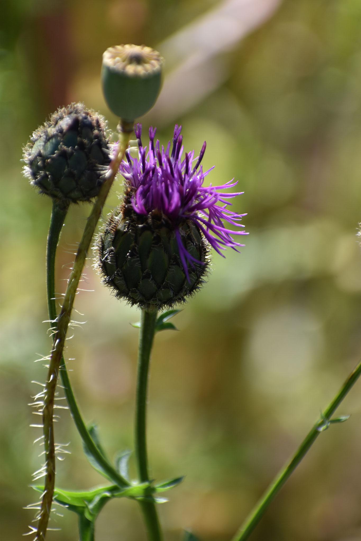 Schwarze Flockenblume (Foto: H. Seiß)