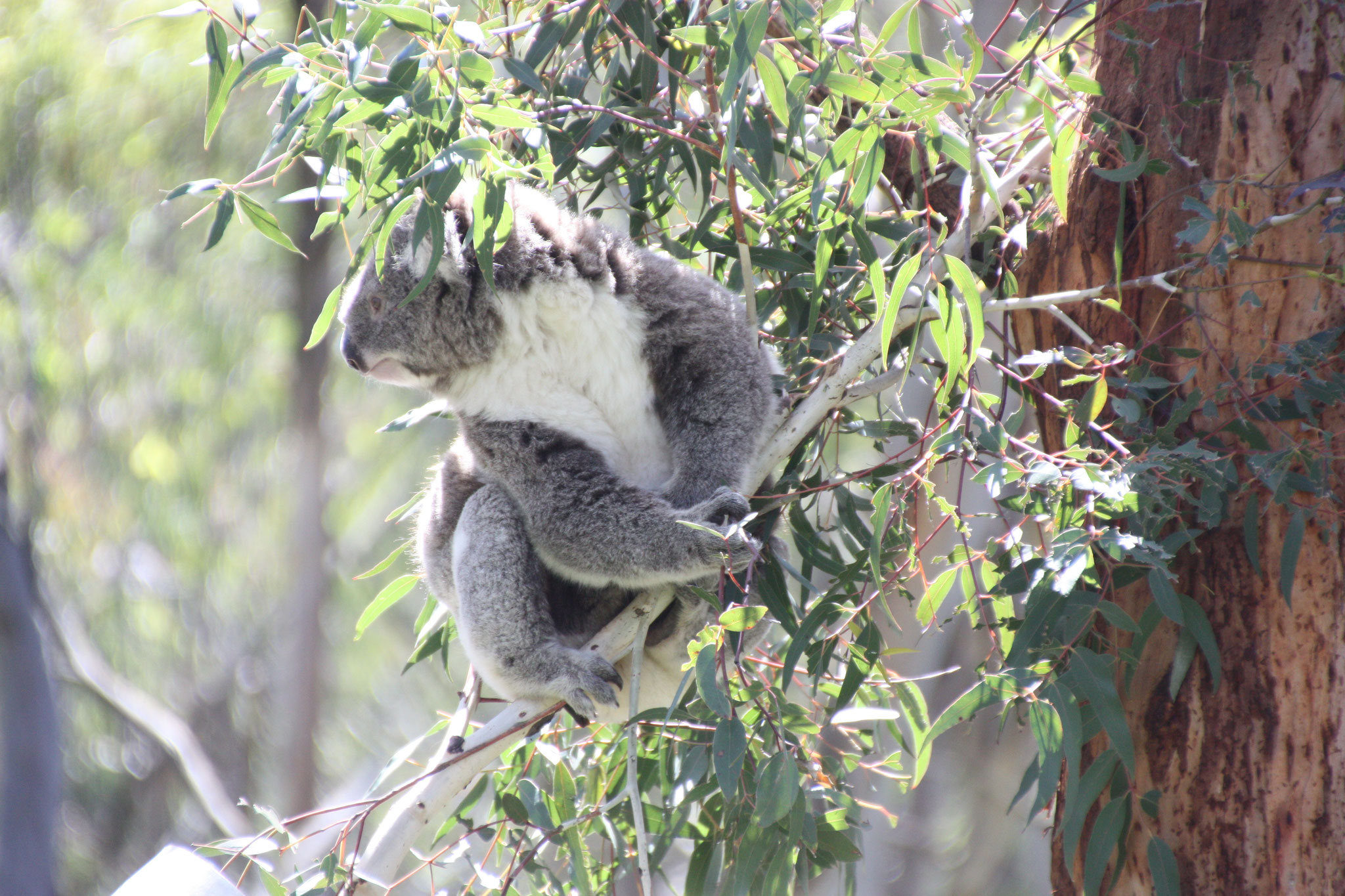 Koala à table