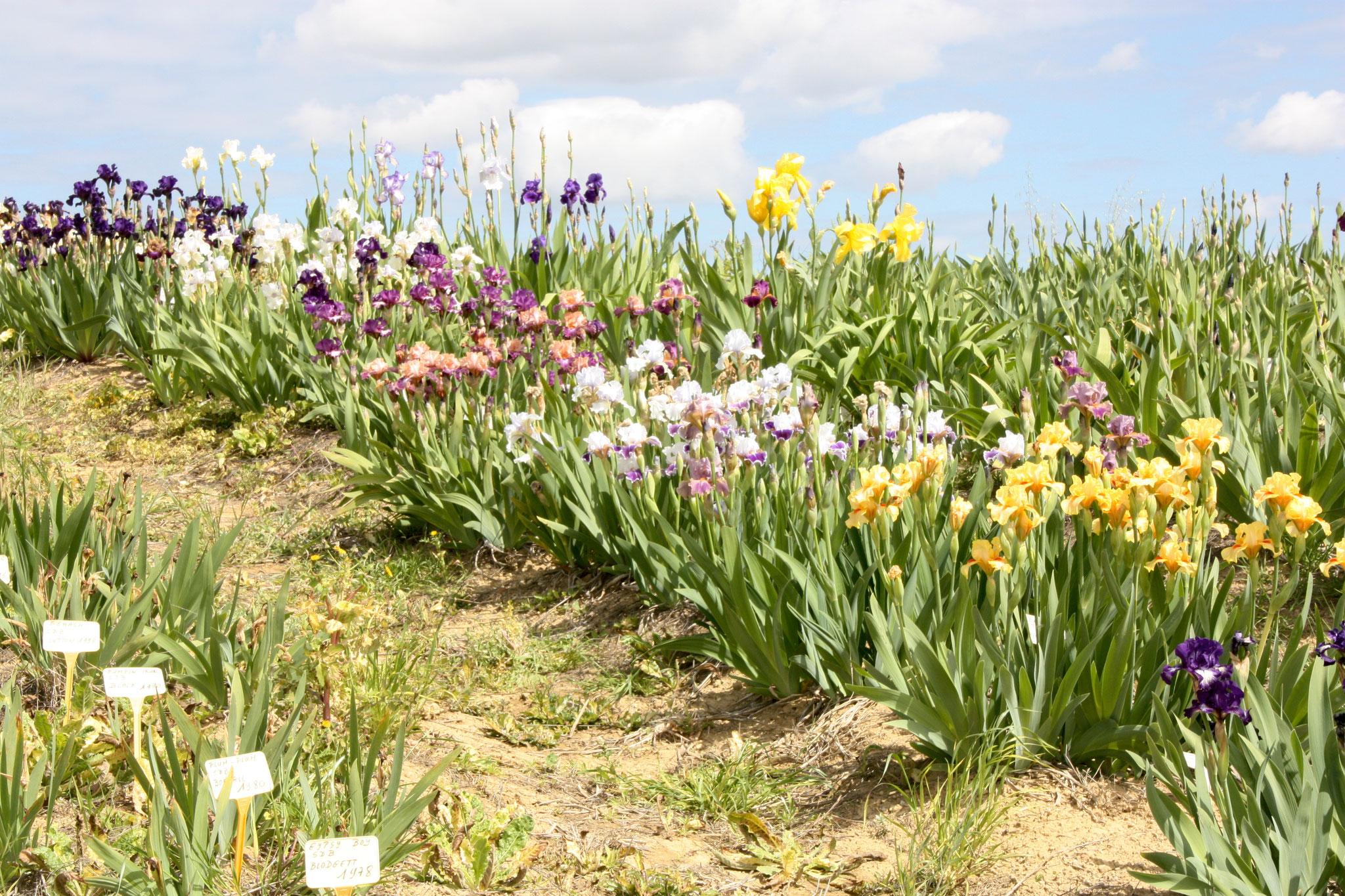 Iris intermédiaires
