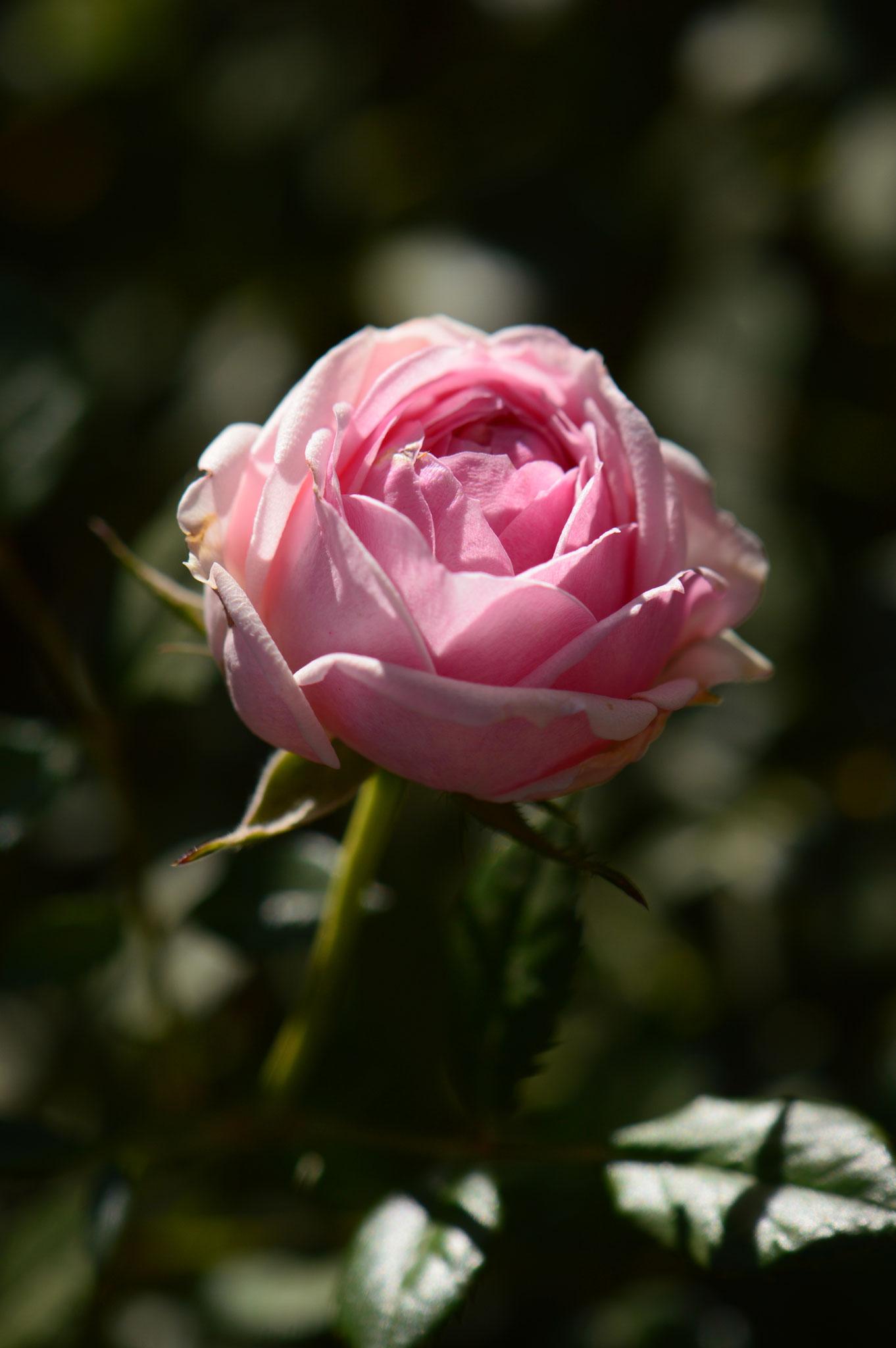 pink noID (miniature)