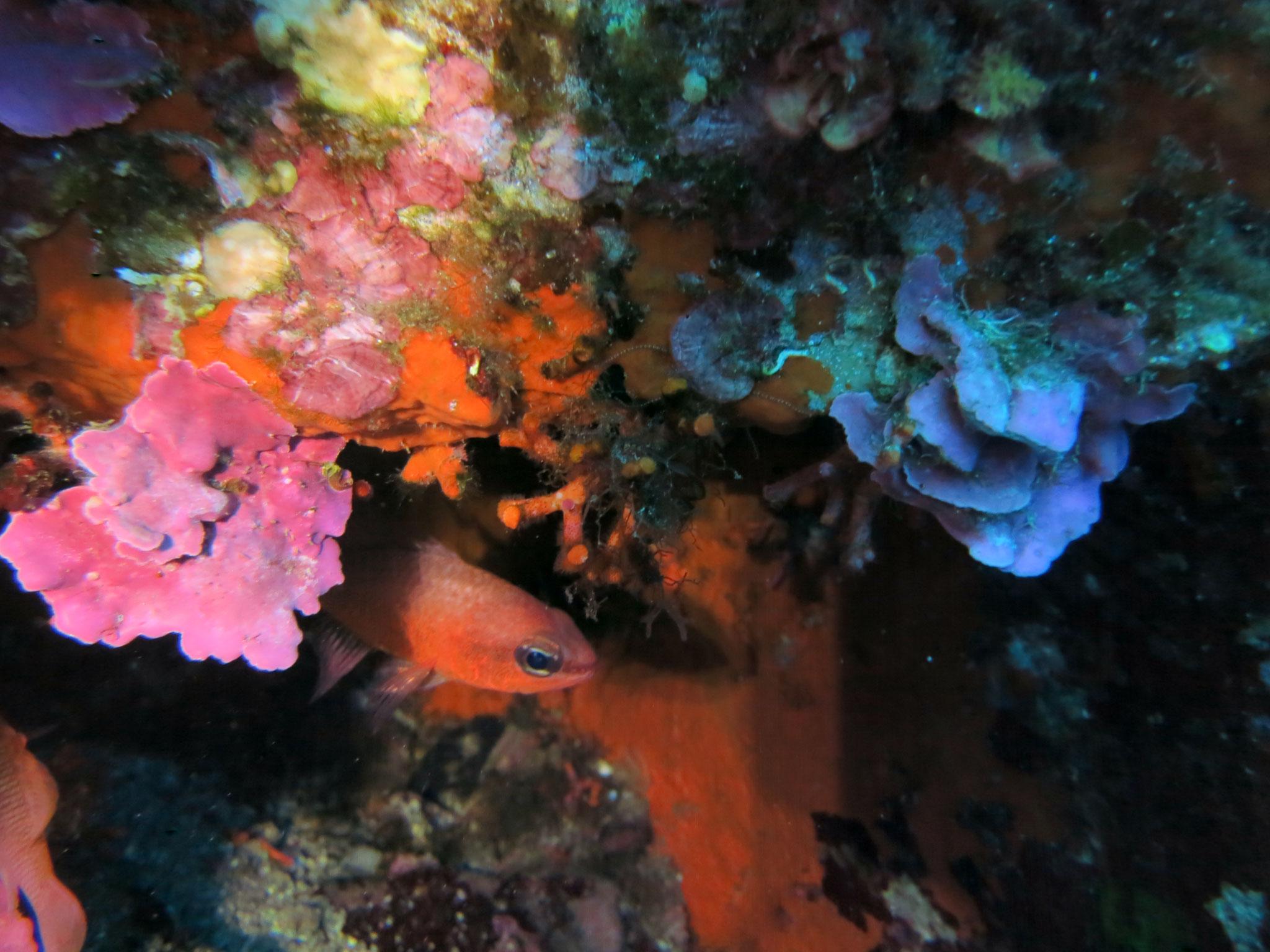 Apogon imberbis, Faux corail Myriapora truncata, algue rouge calcaire Mesophyllum