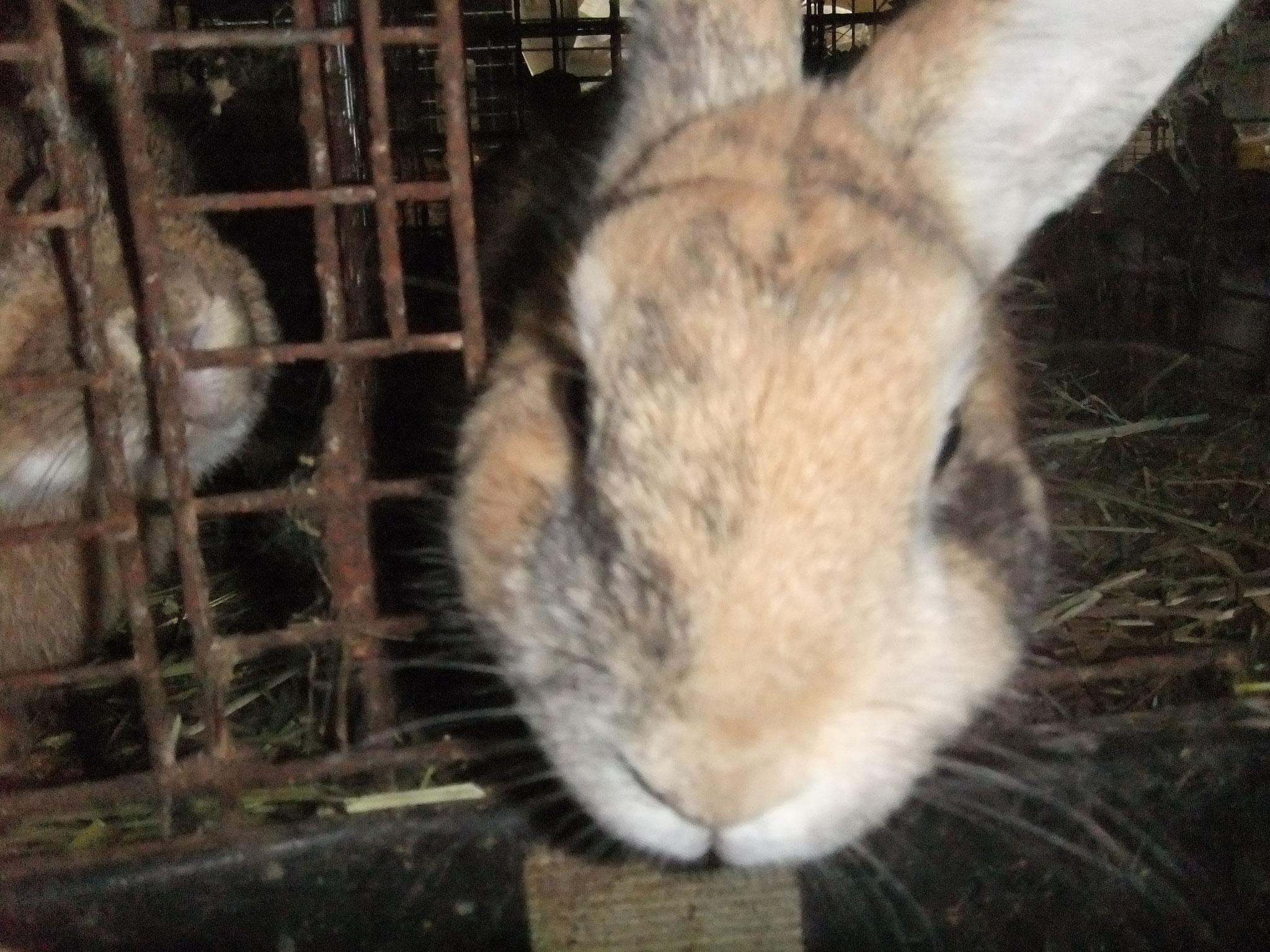 ミニウサギ わらび
