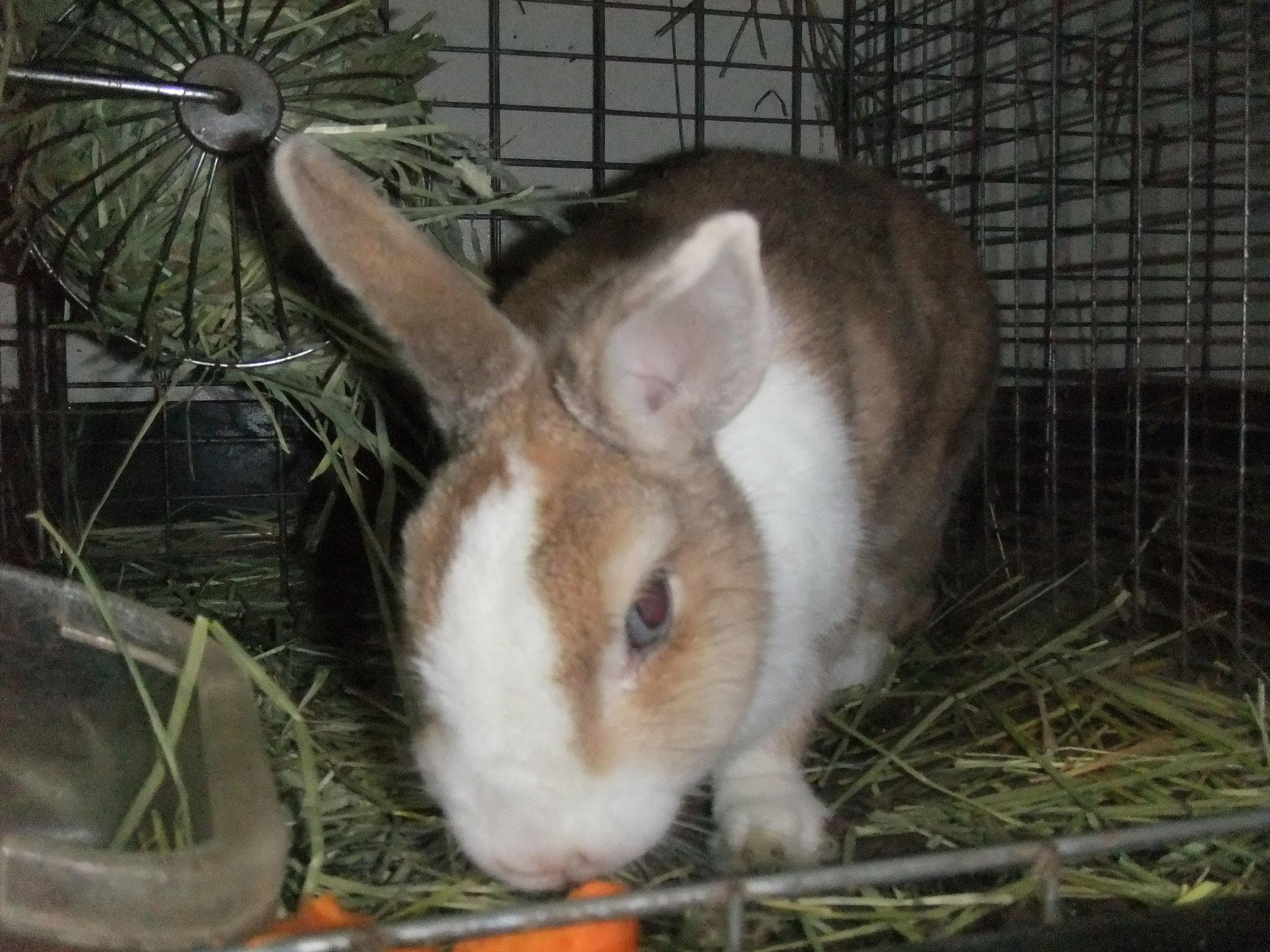ミニウサギ よもぎ