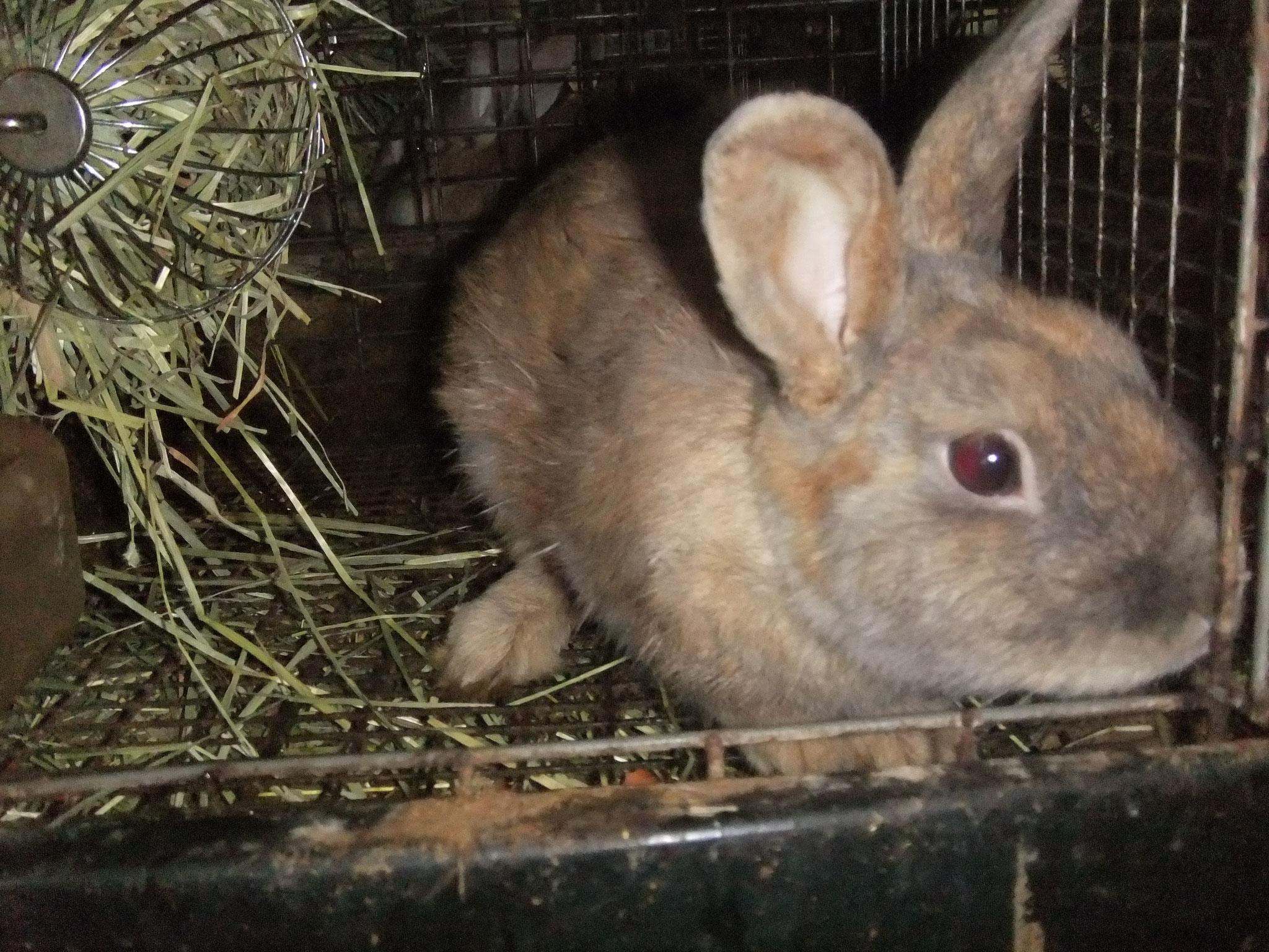ミニウサギ ブレッド
