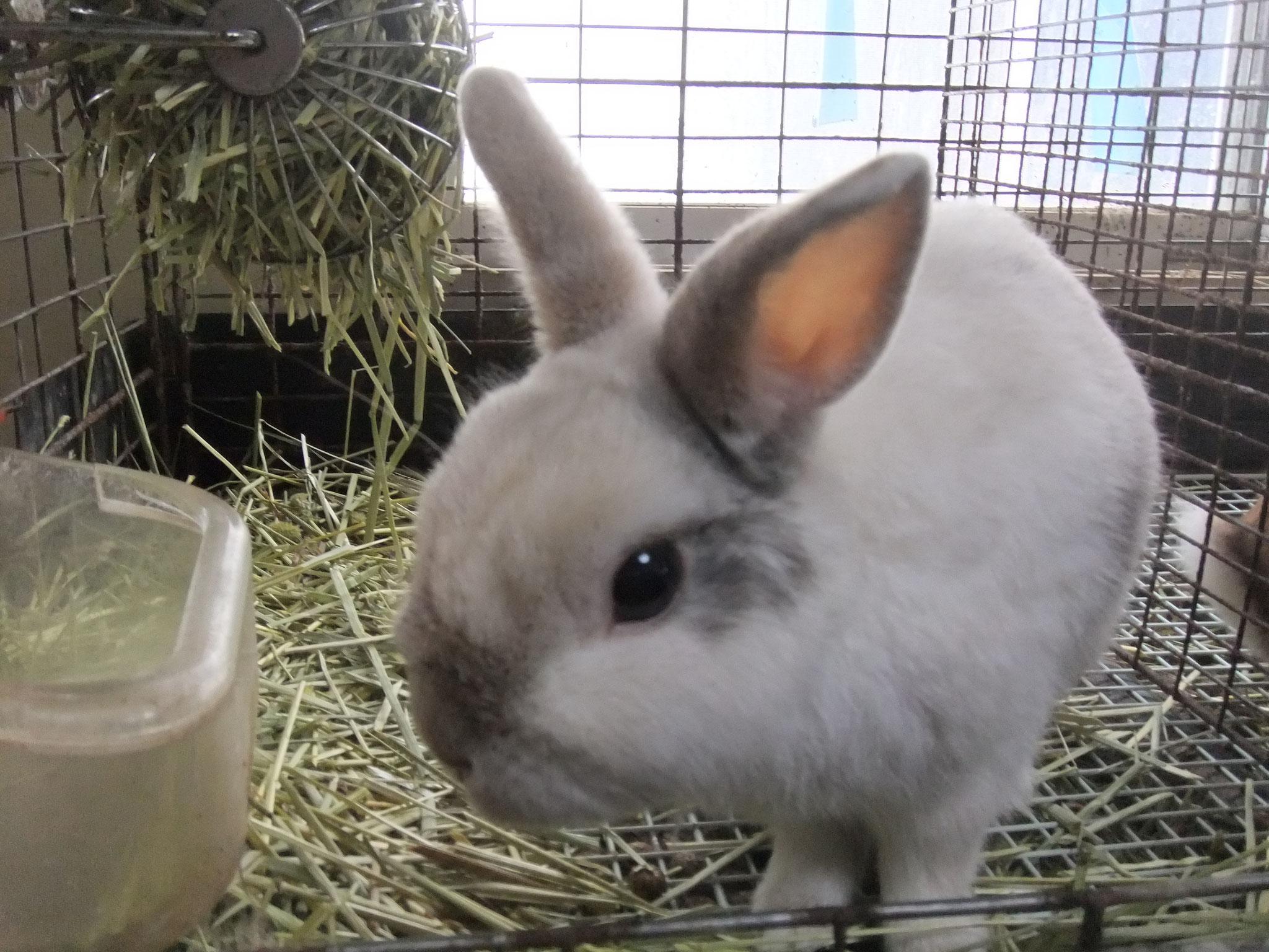 ミニウサギ チロ