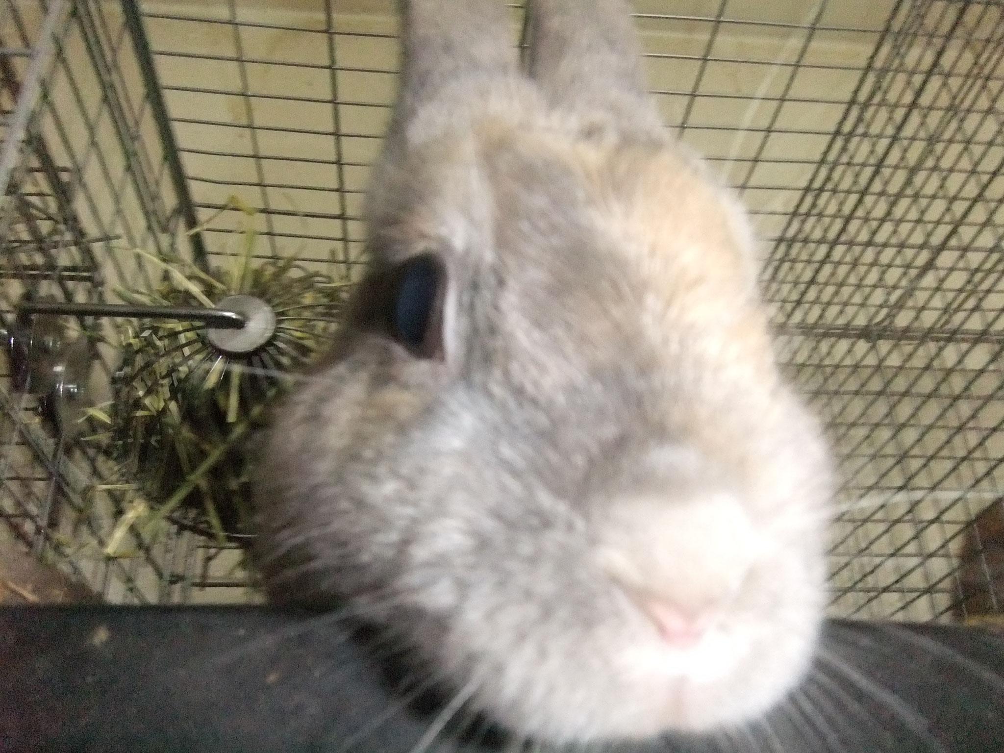 ミニウサギ ハープ