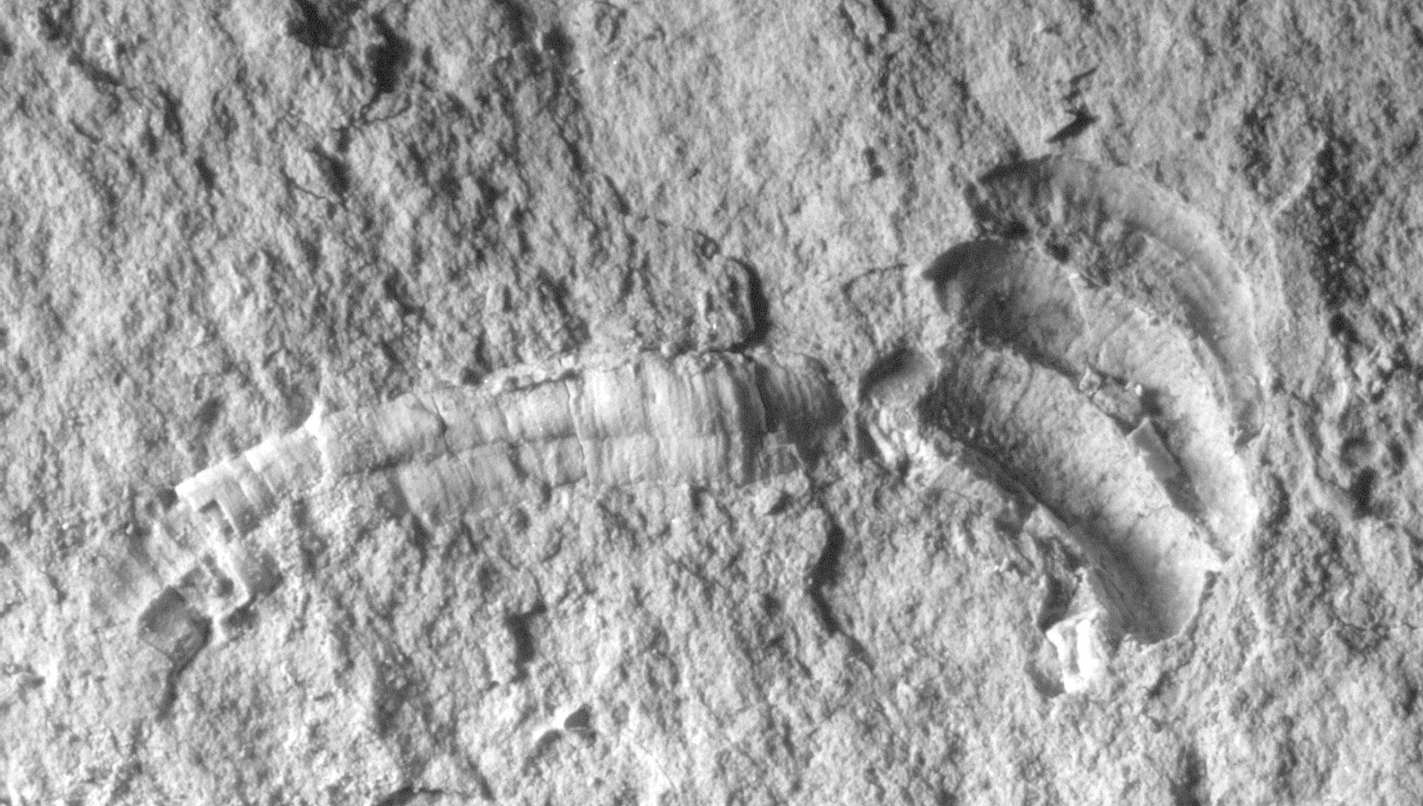 """Vermetus gracilis aus dem """"Unteren Zementmergel""""; Weg zum Mergelbruch (Photo Heyng 2008)"""