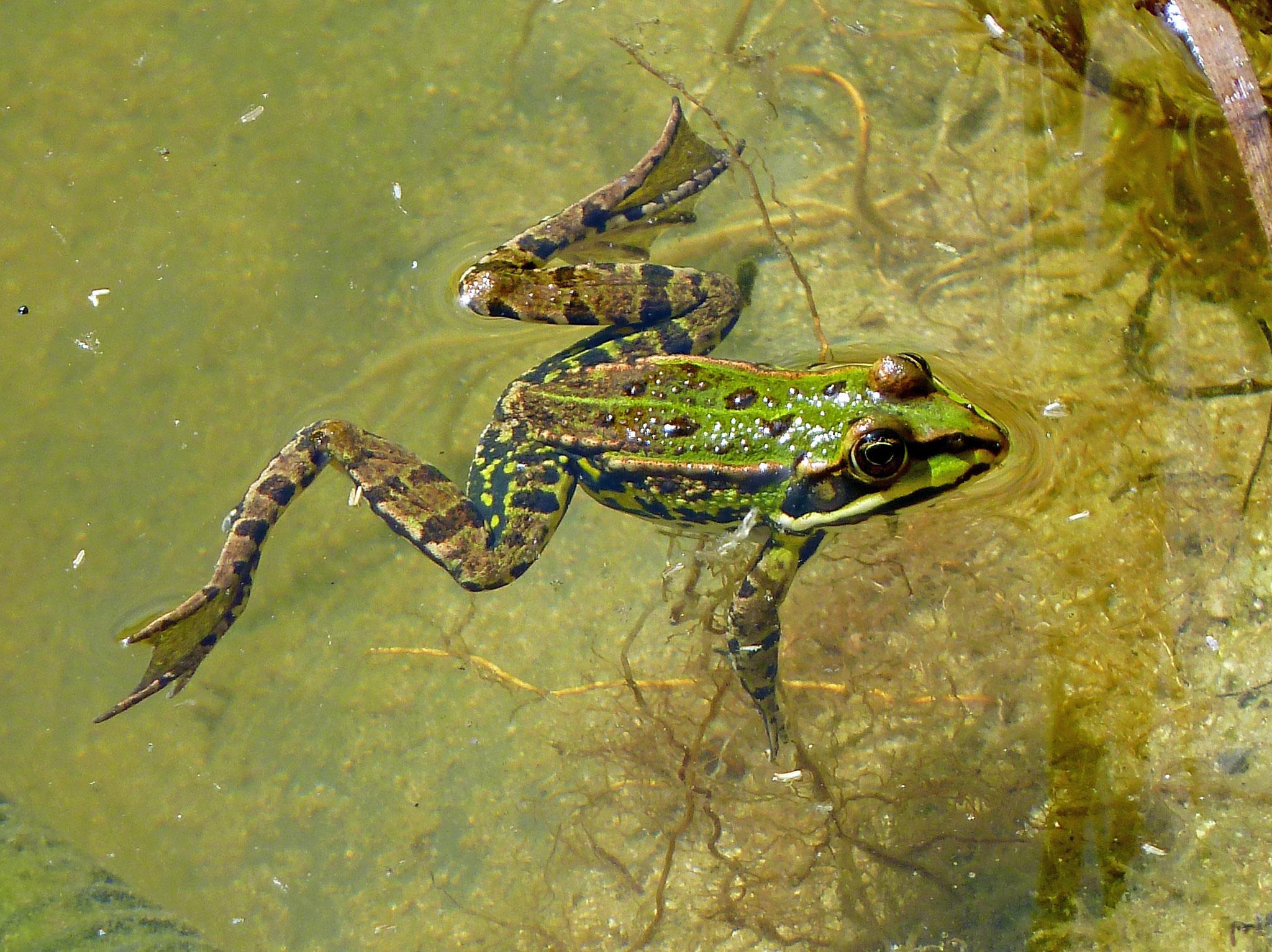 Wasserfrosch im Gartenteich / Überlingen-Deisendorf