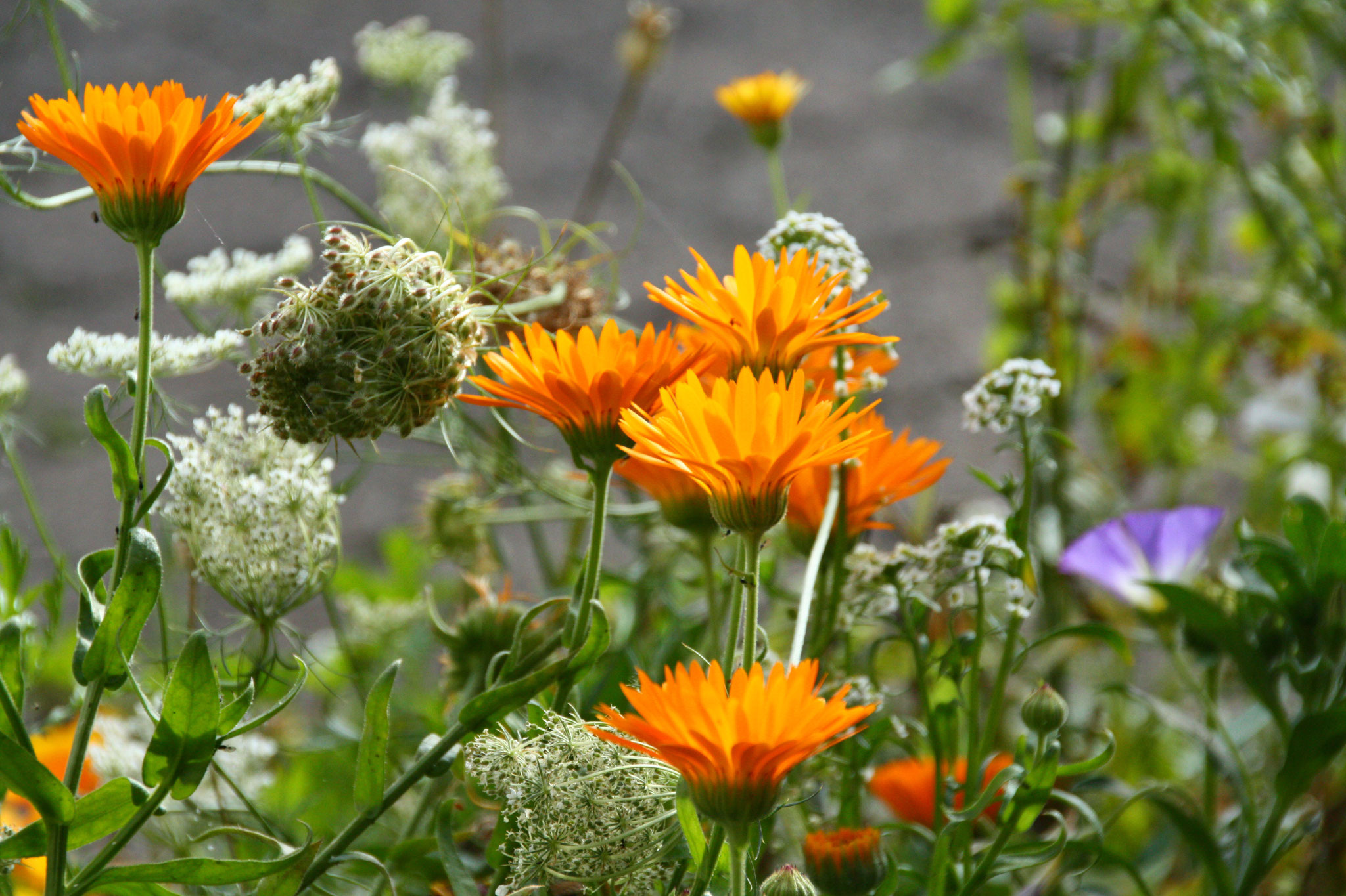 Wilde Möhre und Ringelblumen, Foto: K. H.