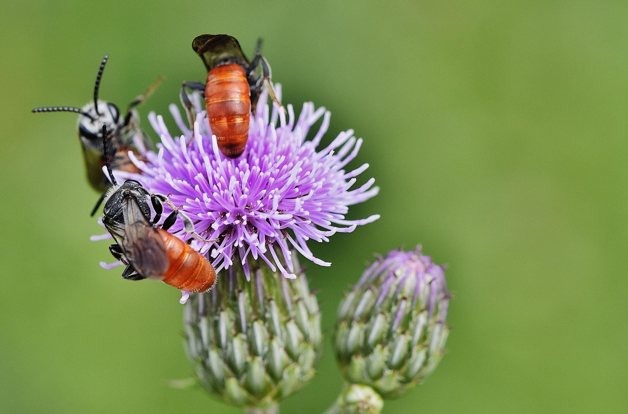 Blutbienen. Foto: Peter Brixius