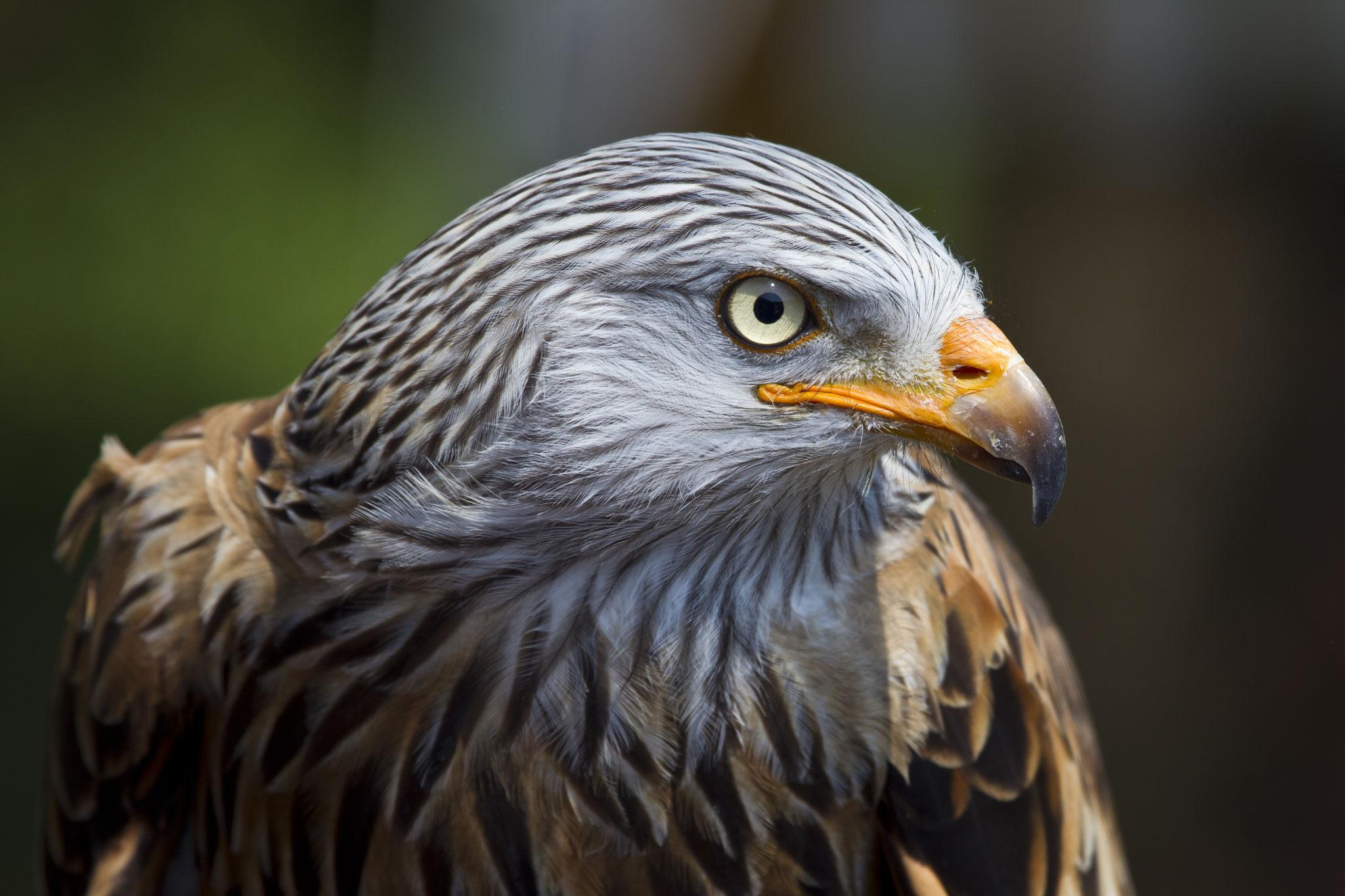 War lange unter den Top Ten und Vogel des Jahres 2000: der Rotmilan. Foto: Nabu-Archiv