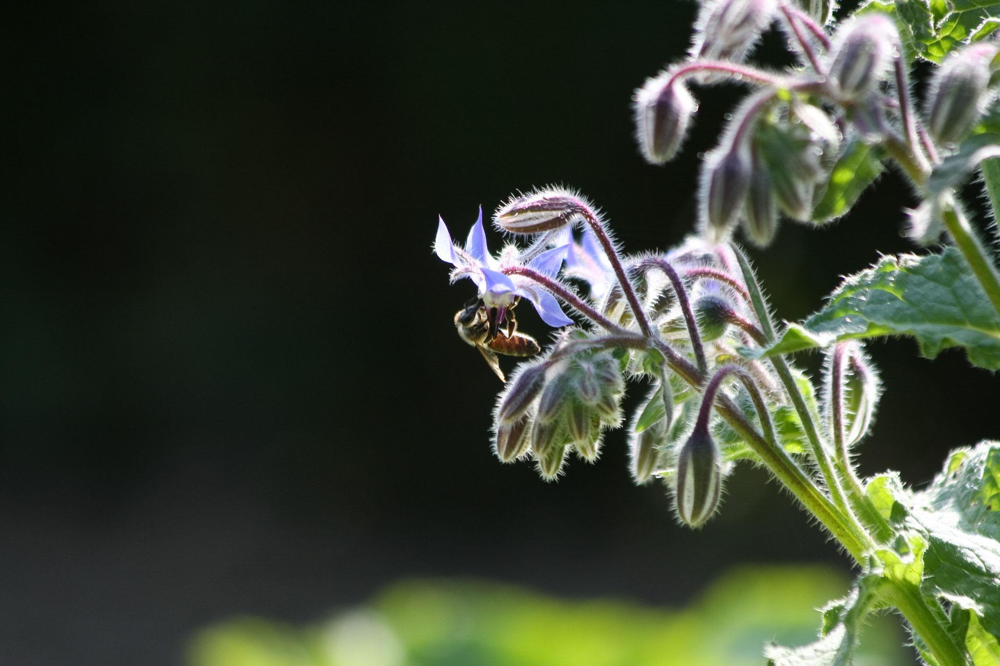 Honigbiene an Borretsch, Foto: Christine Kuchem