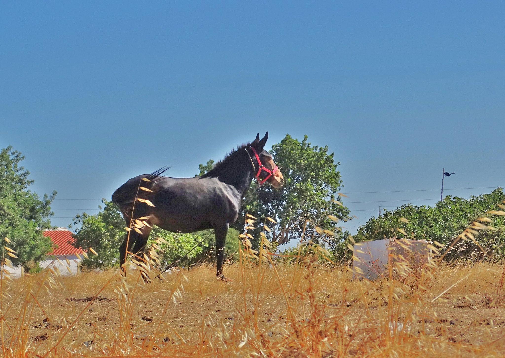 auch Algarvesommer! dieser Esel ist einfach eine Augenweide, rund und glänzend und zufrieden steht er da