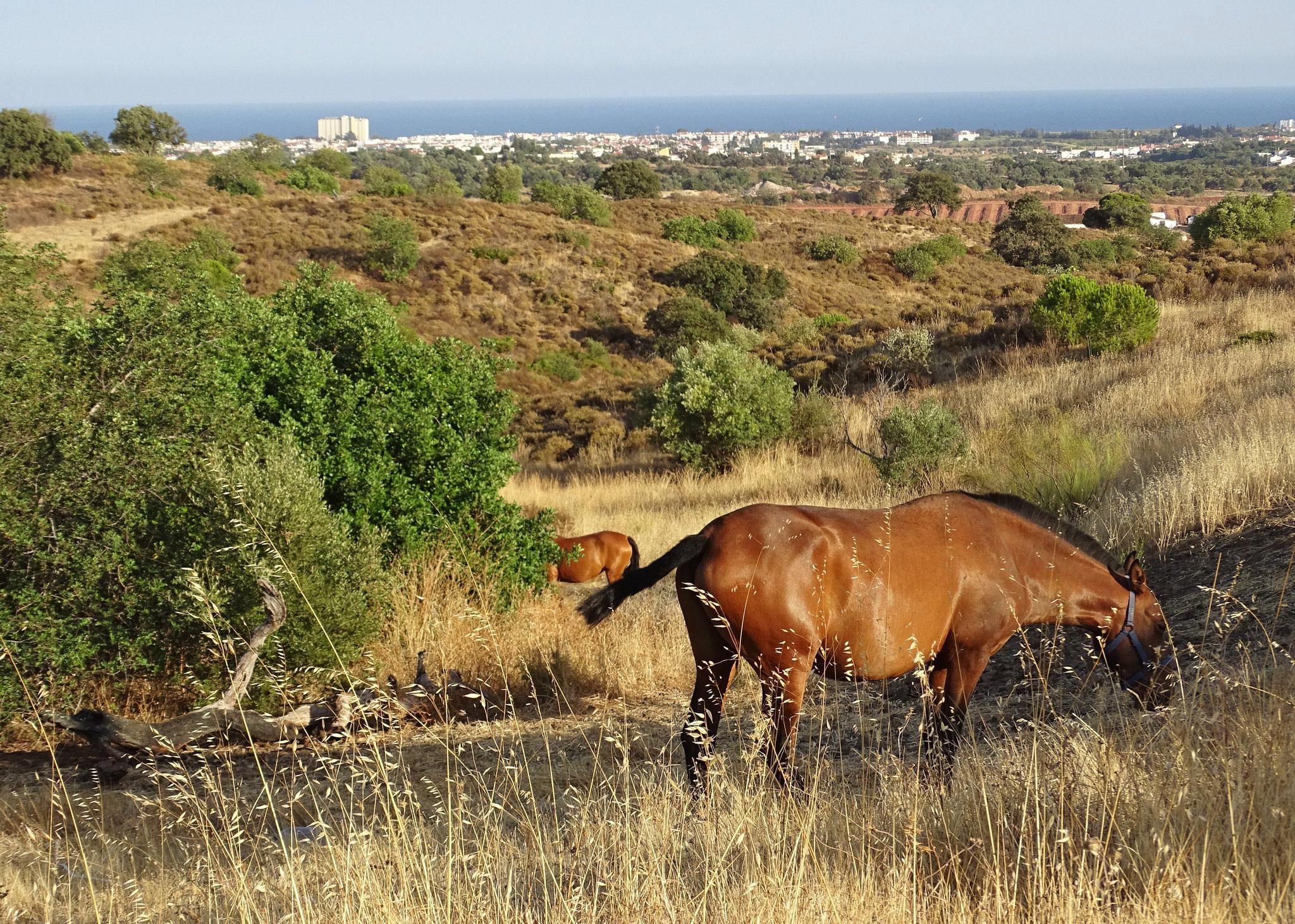 entspannte Pferde grasen vor atemberaubender Kulisse, auch das ist Algarve