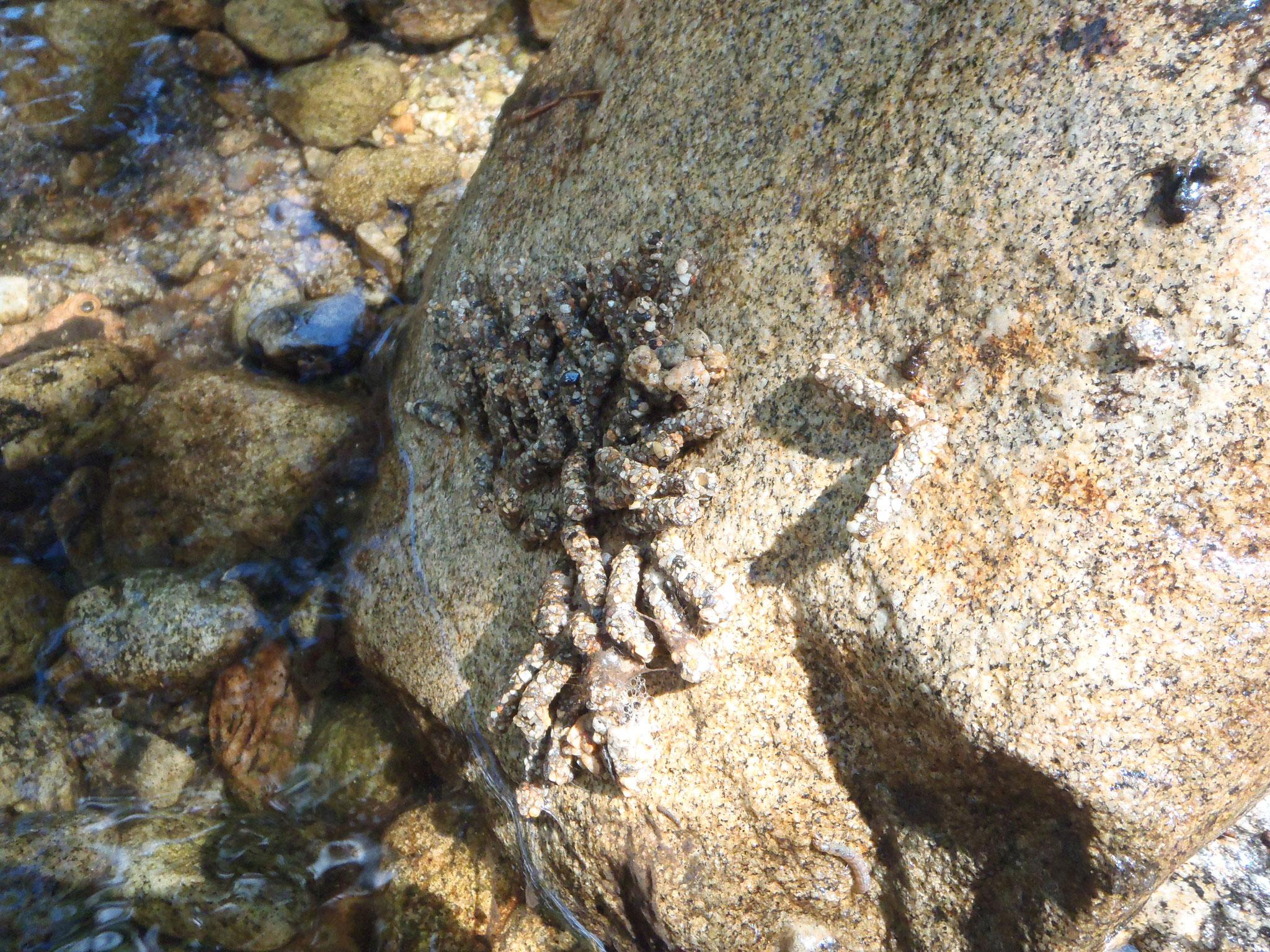 Grappes de vers d'eau sous un rocher