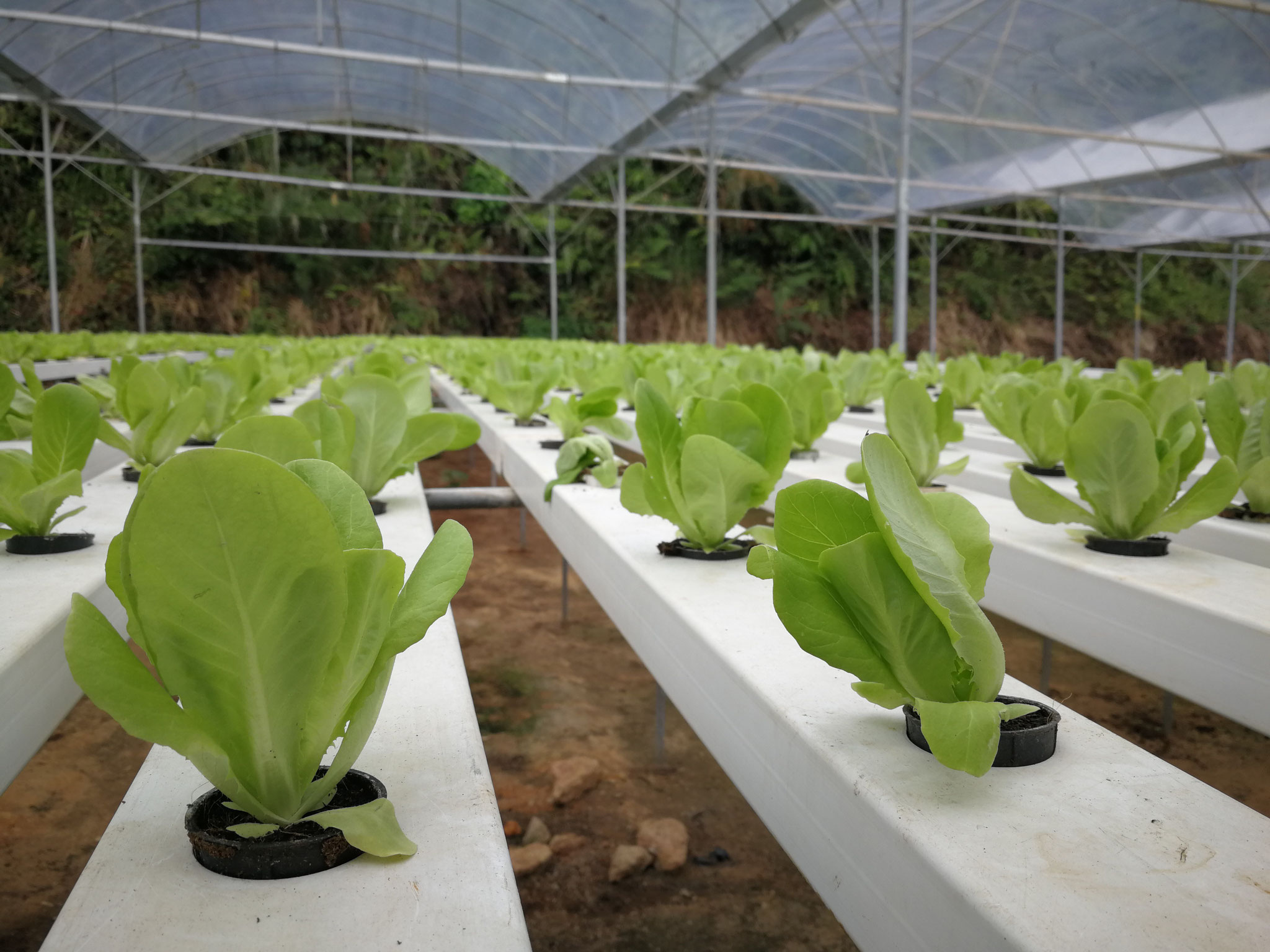Hydroponic-grown lettuce. Photo credits to Jia May