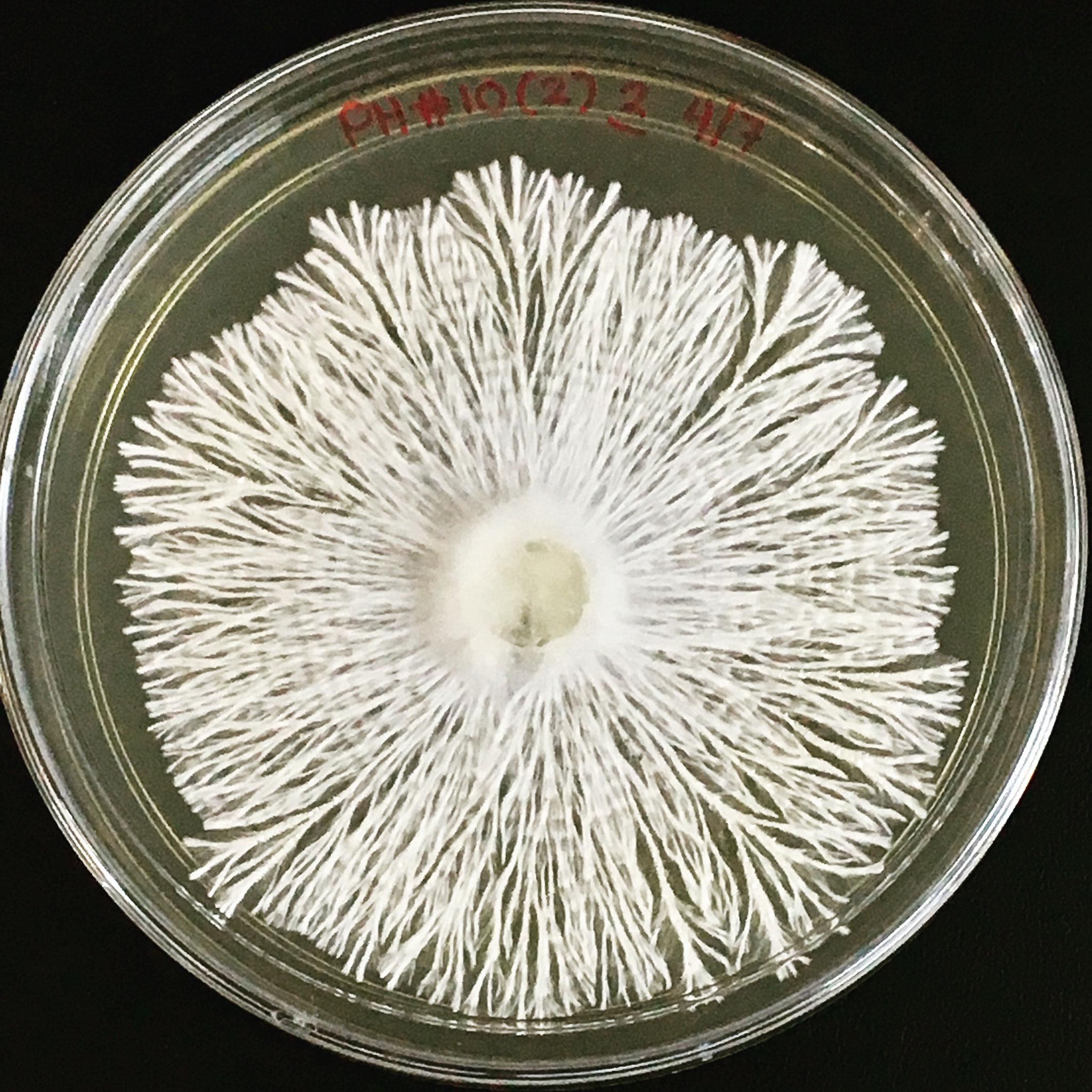 Endolichenic fungi. Photo credits to Krystle
