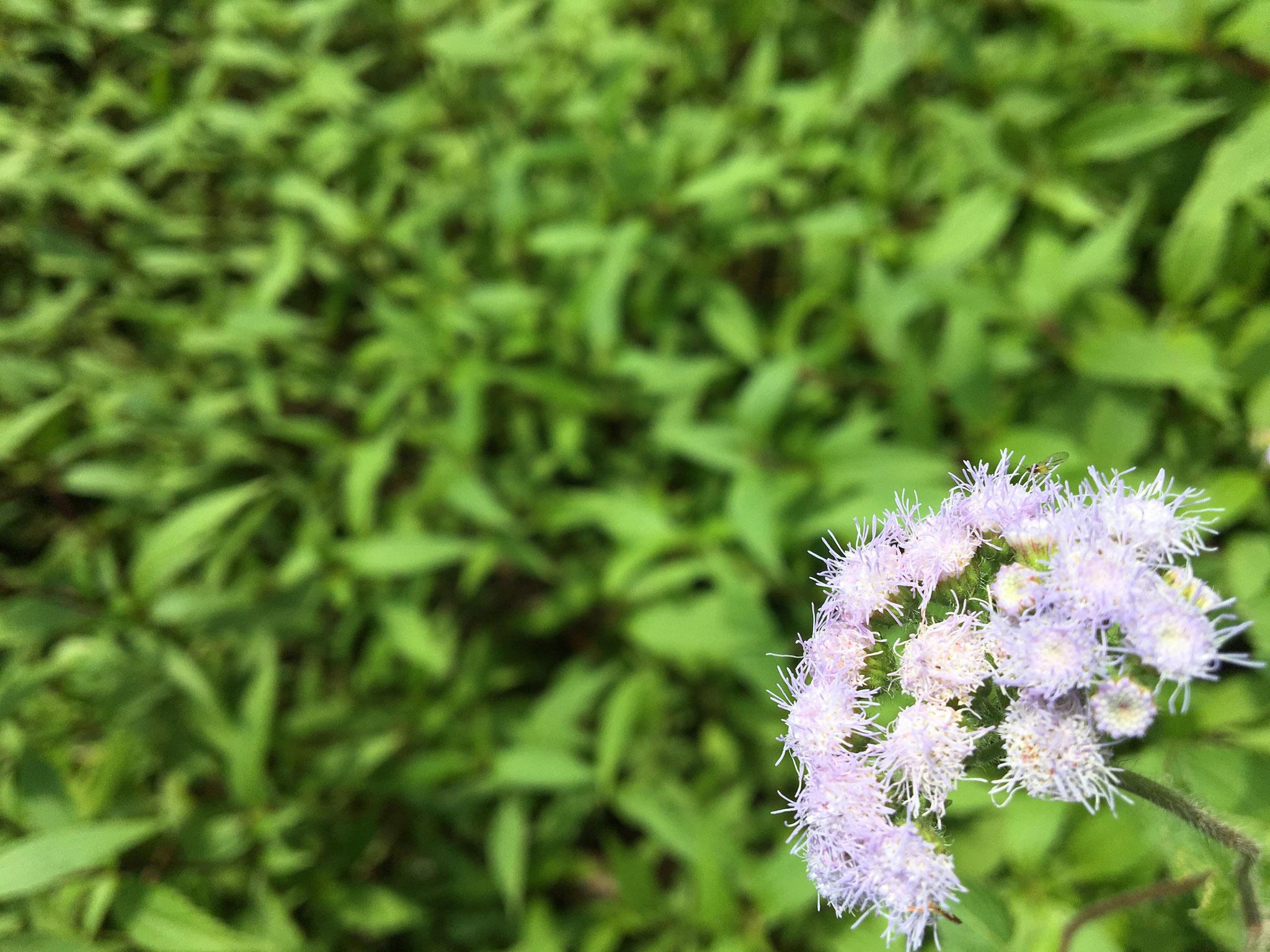 Random flower in Bukit Larut during sampling. Photo credits to Krystle