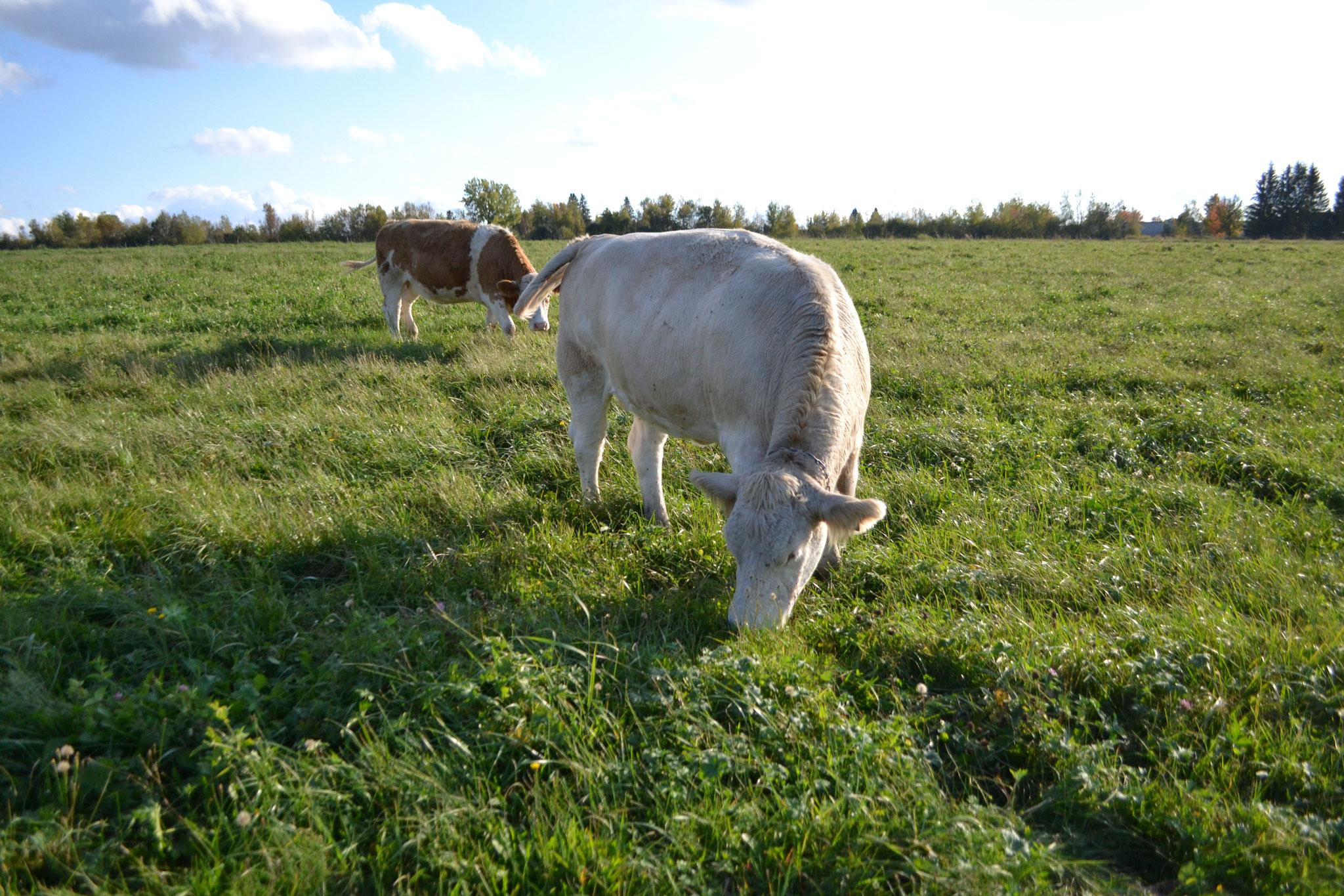 Notre boeuf est nourri exclusivement d'herbe de la ferme...