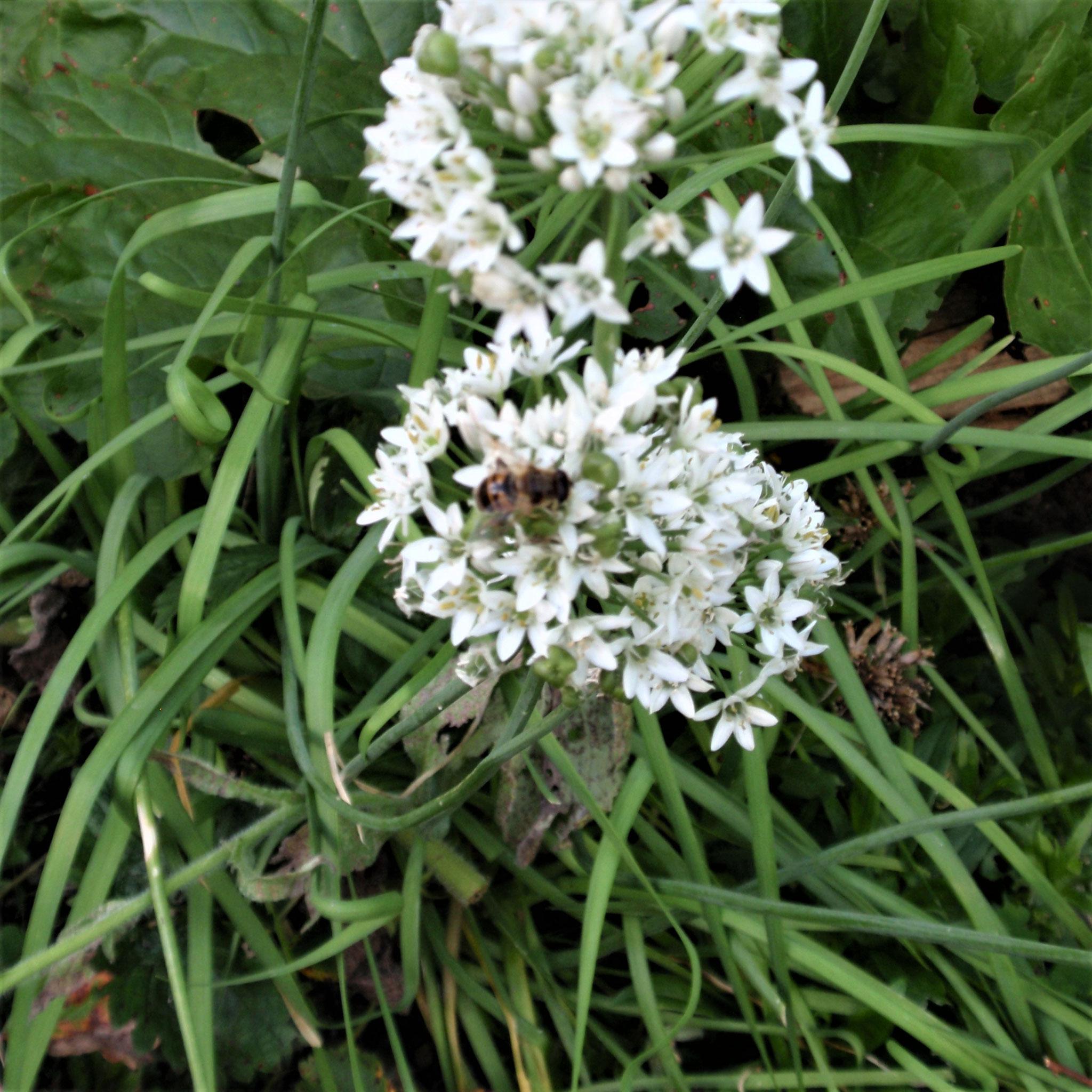 Durch Saatgutgewinnung gibt es immer Köstlichkeiten für Bienen und Co.