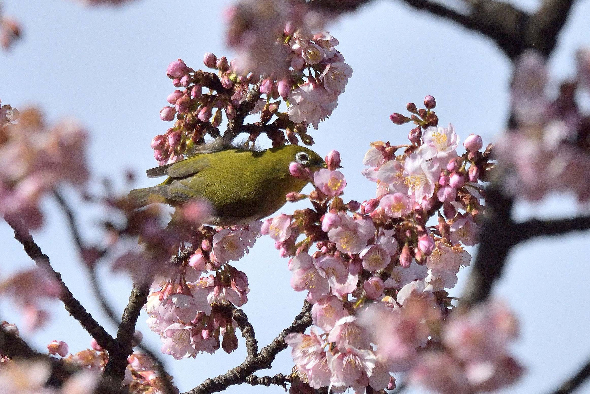 新宿御苑の桜の蜜をちゅうちゅう