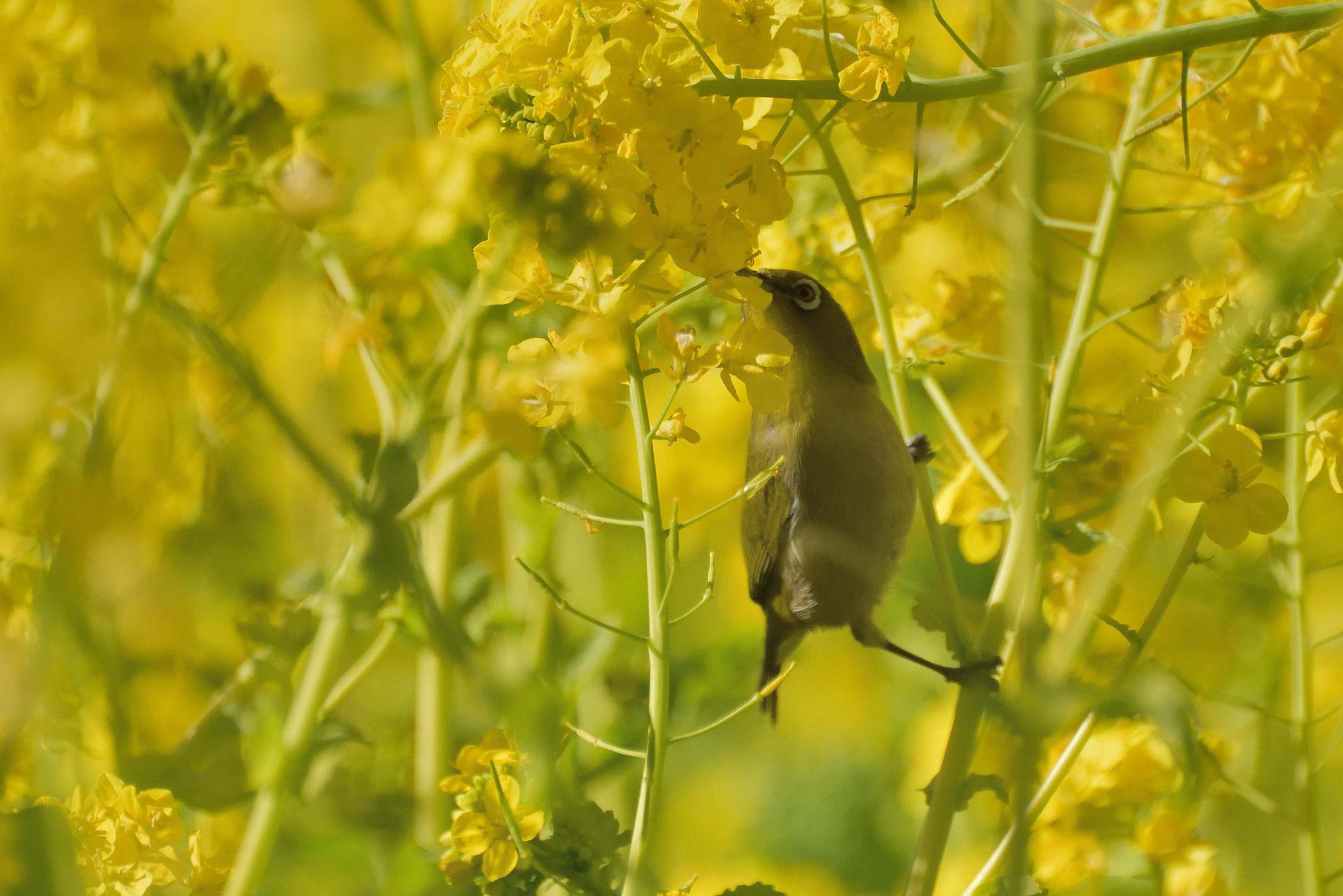 浜離宮の菜の花の蜜をちゅうちゅうちゅう