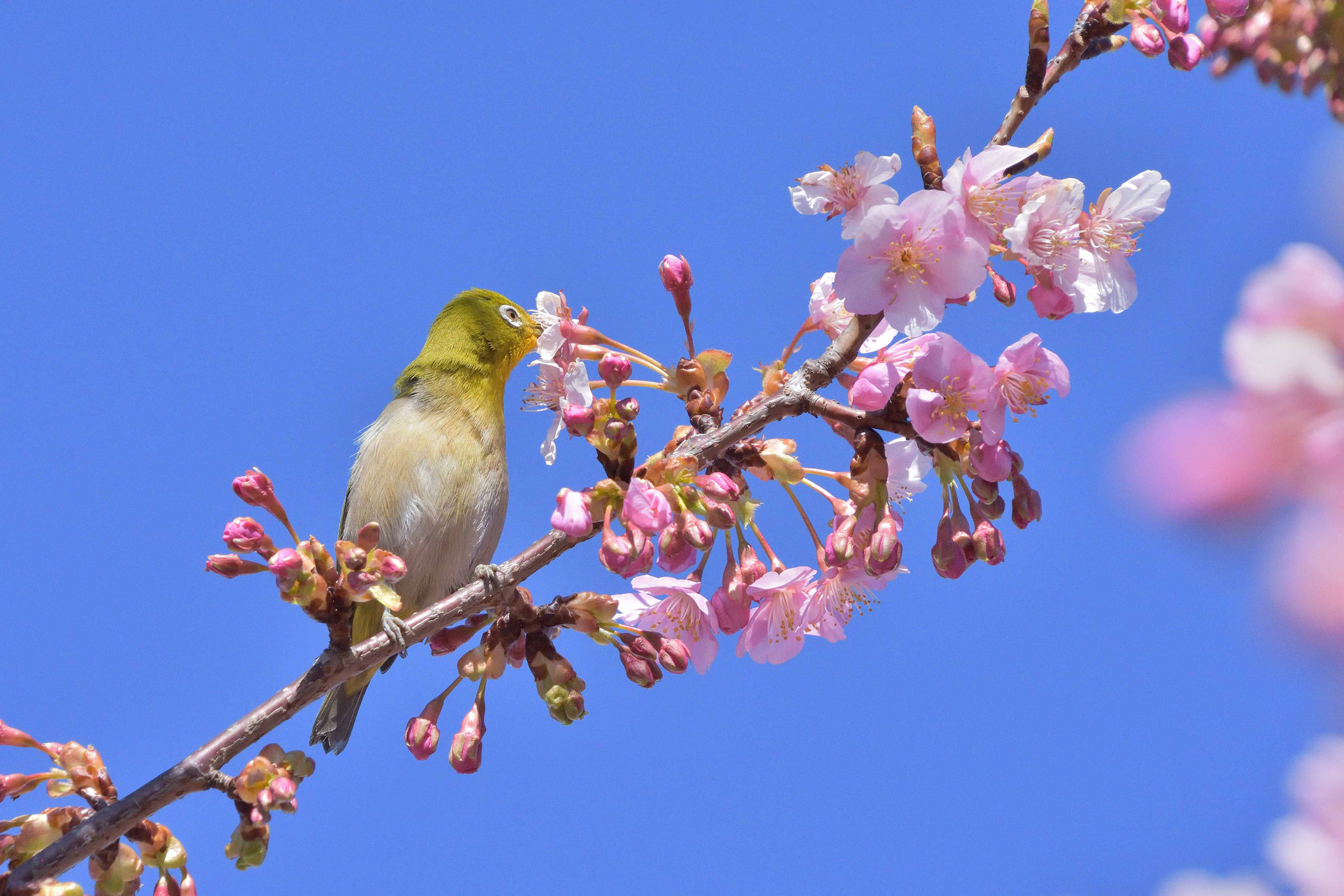 せせらぎ遊歩道の桜の蜜をちゅう