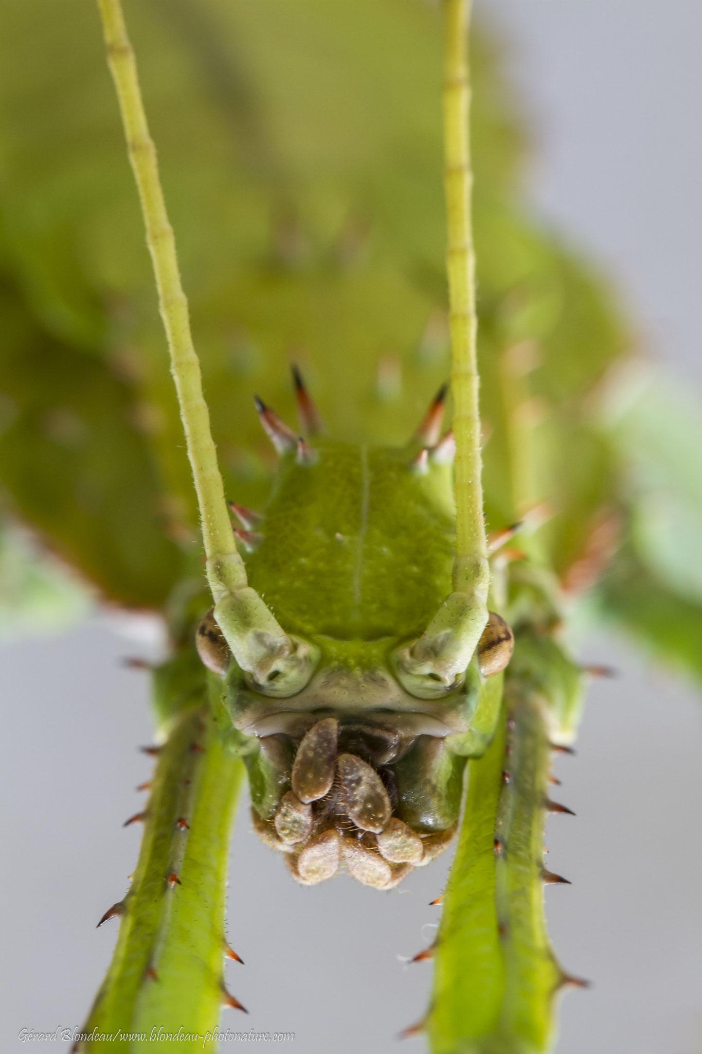 Phasme Heteropteryx femelle